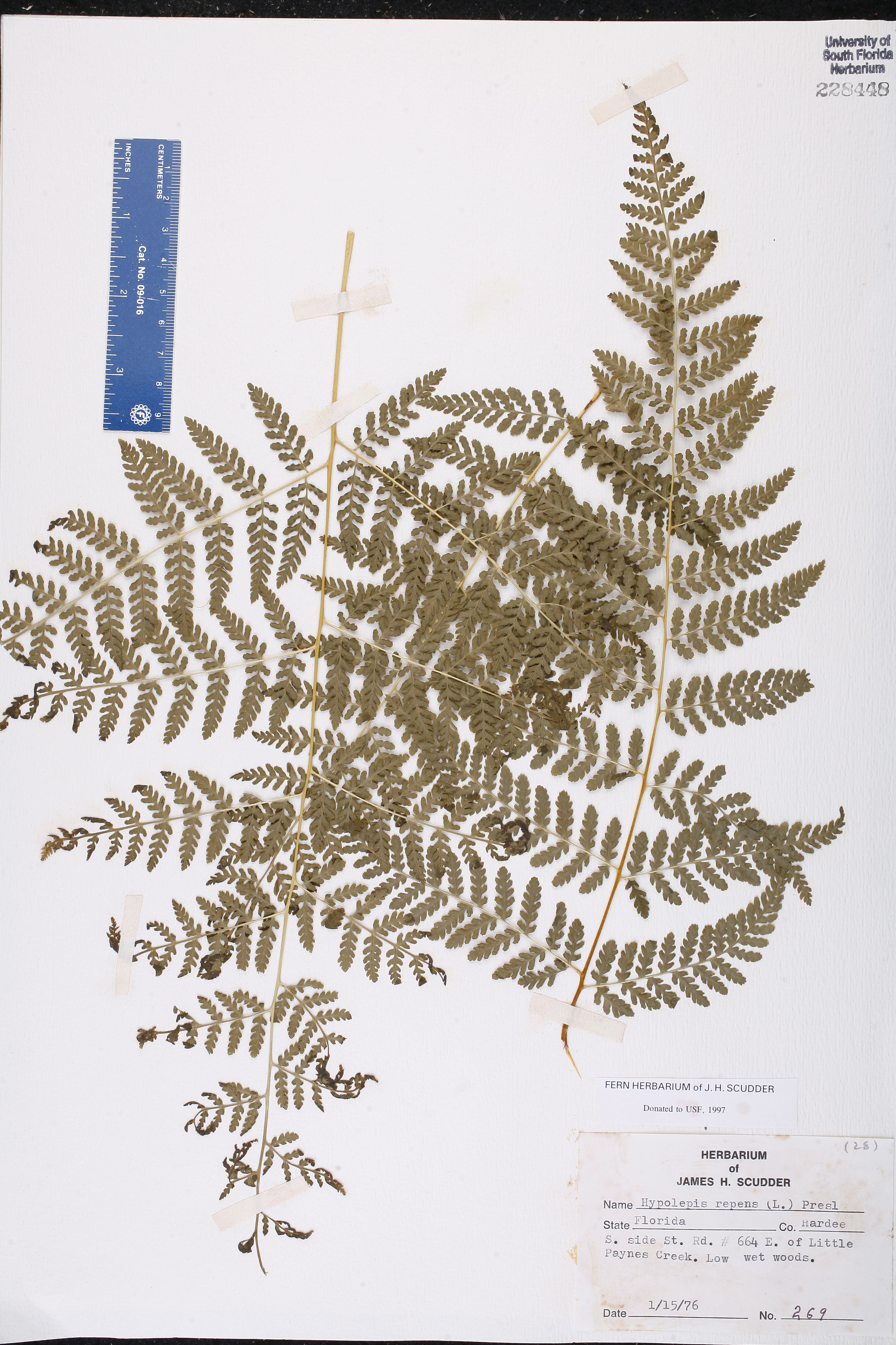 Hypolepis repens image