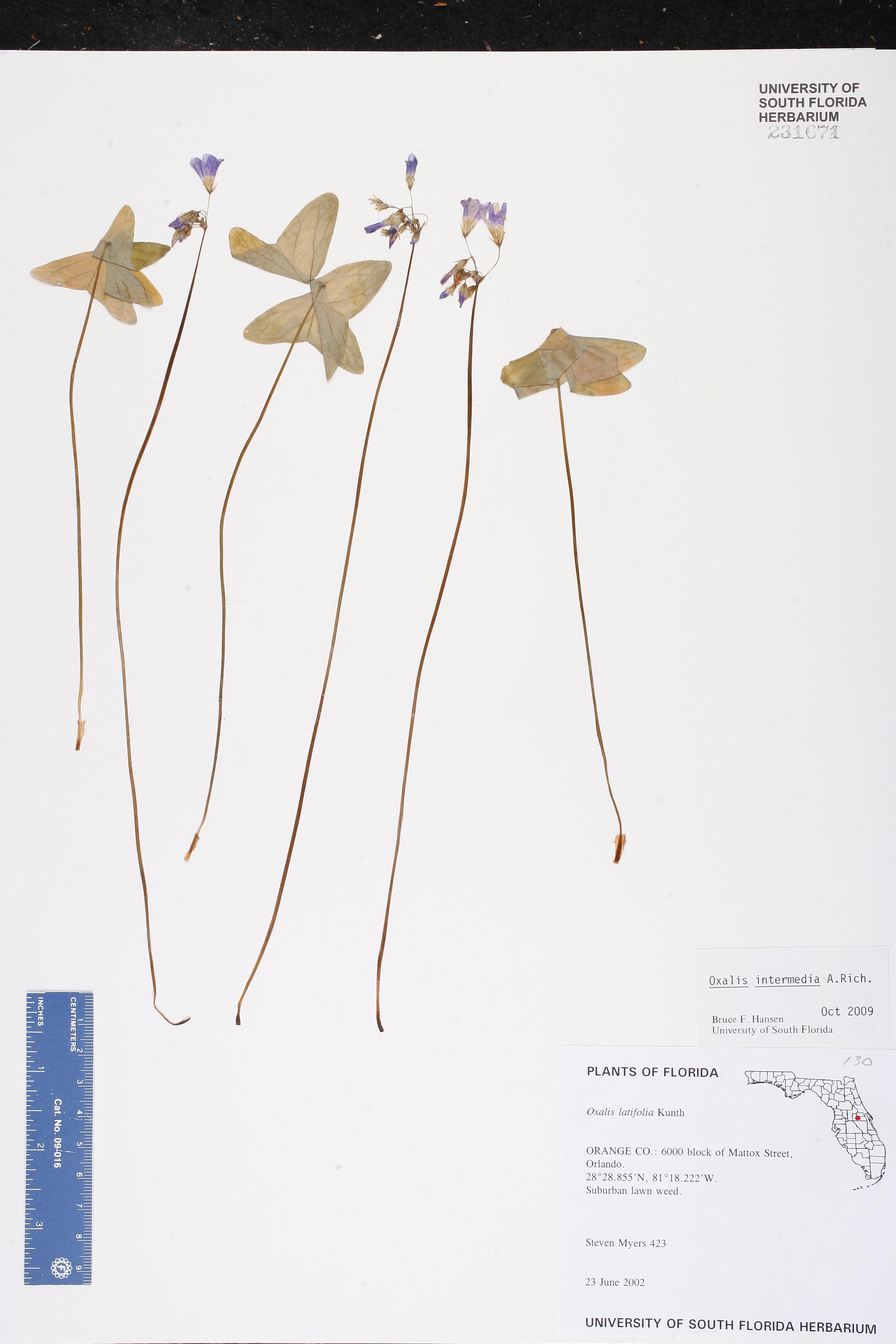 Oxalis intermedia - Species Page - ISB: Atlas of Florida Plants