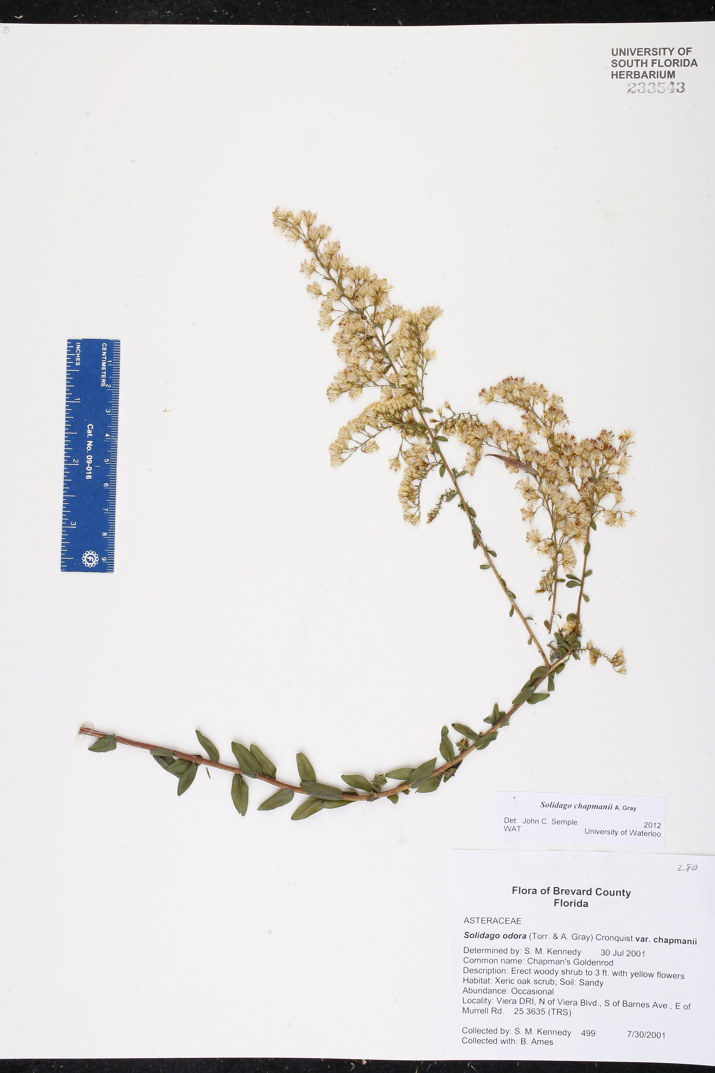 Solidago odora var  chapmanii - Species Page - ISB: Atlas of