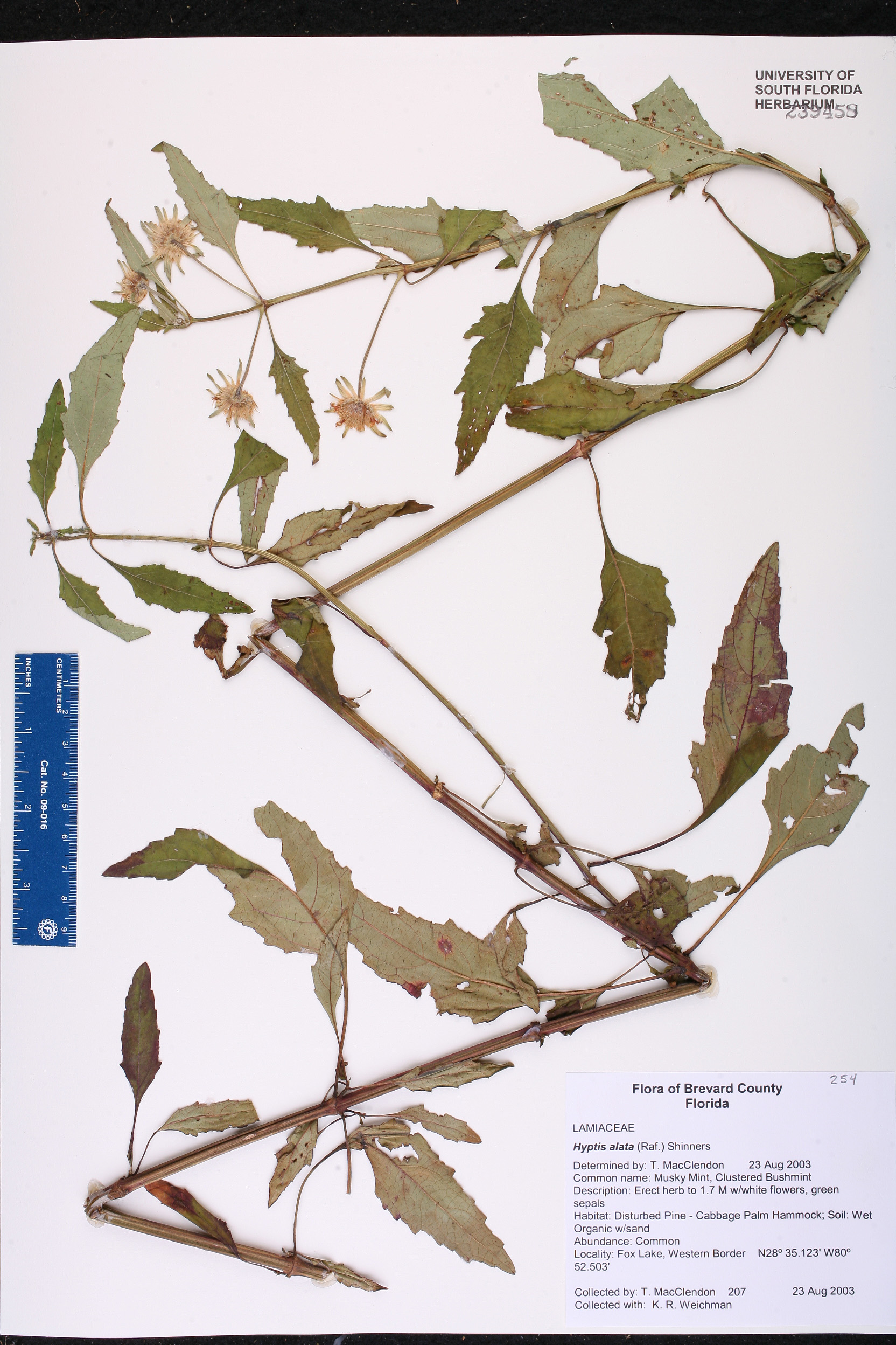 Hyptis alata - Species Page - ISB: Atlas of Florida Plants