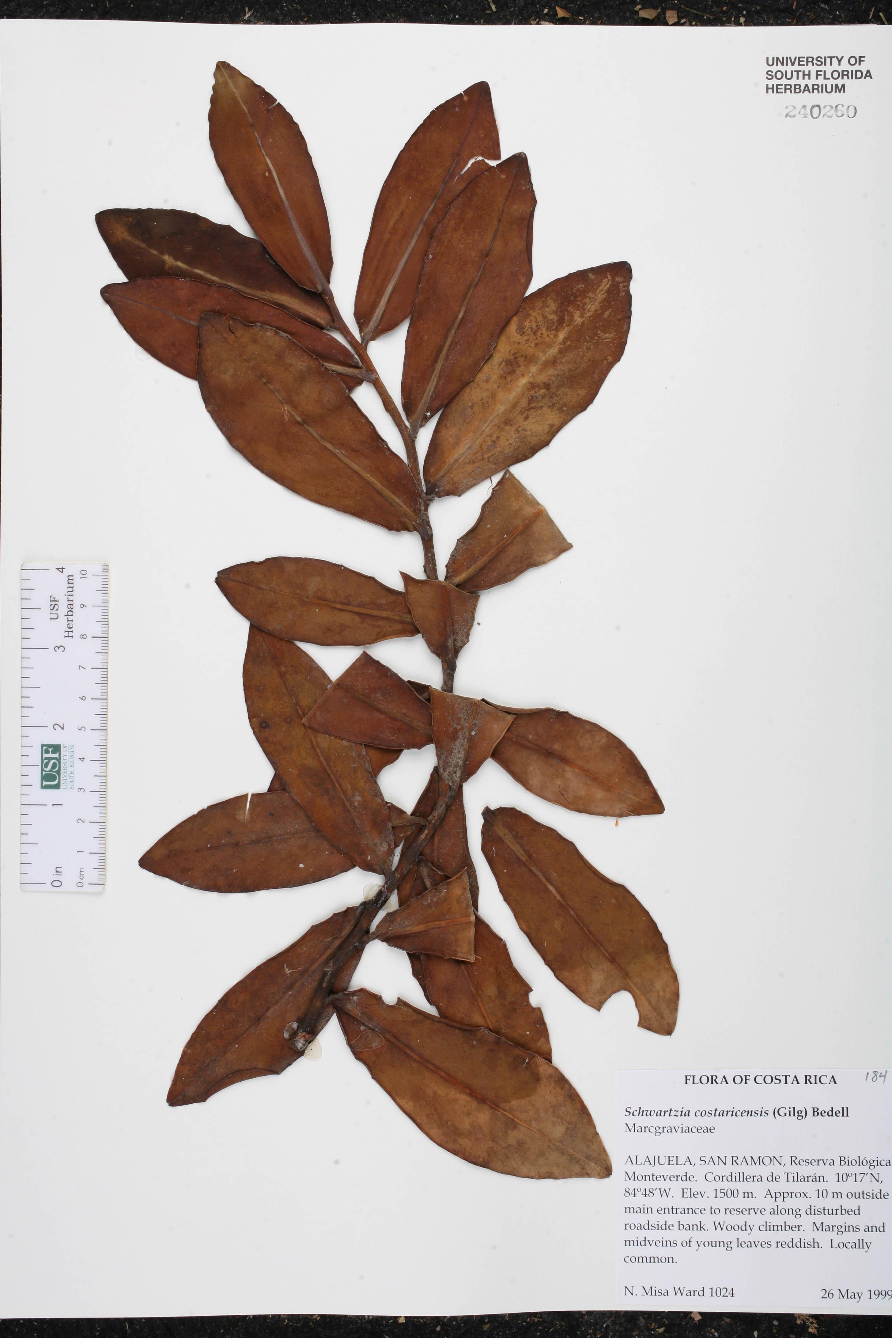 Schwartzia costaricensis image