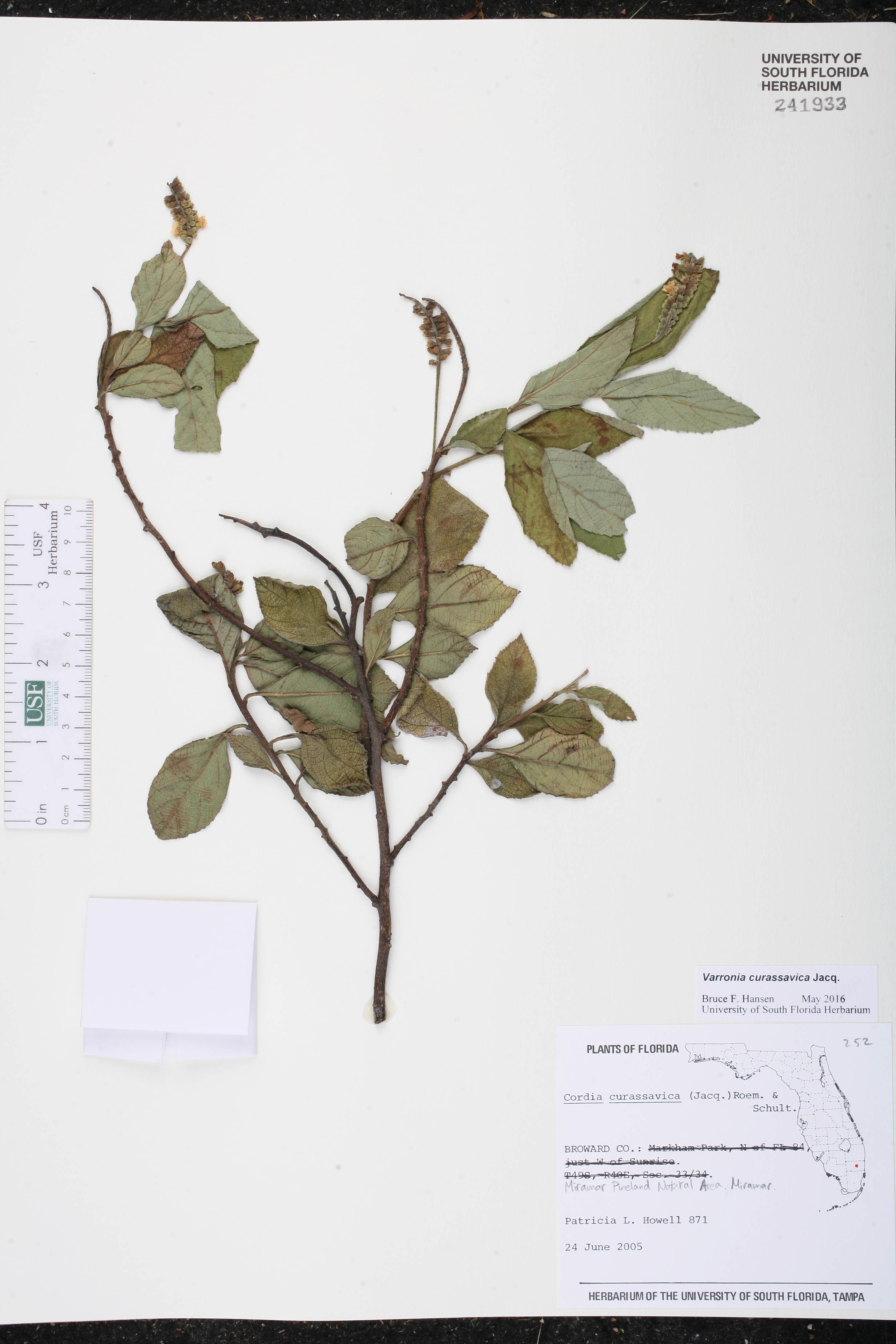 bay frunze de la varicoză prevenirea etapei varicoza