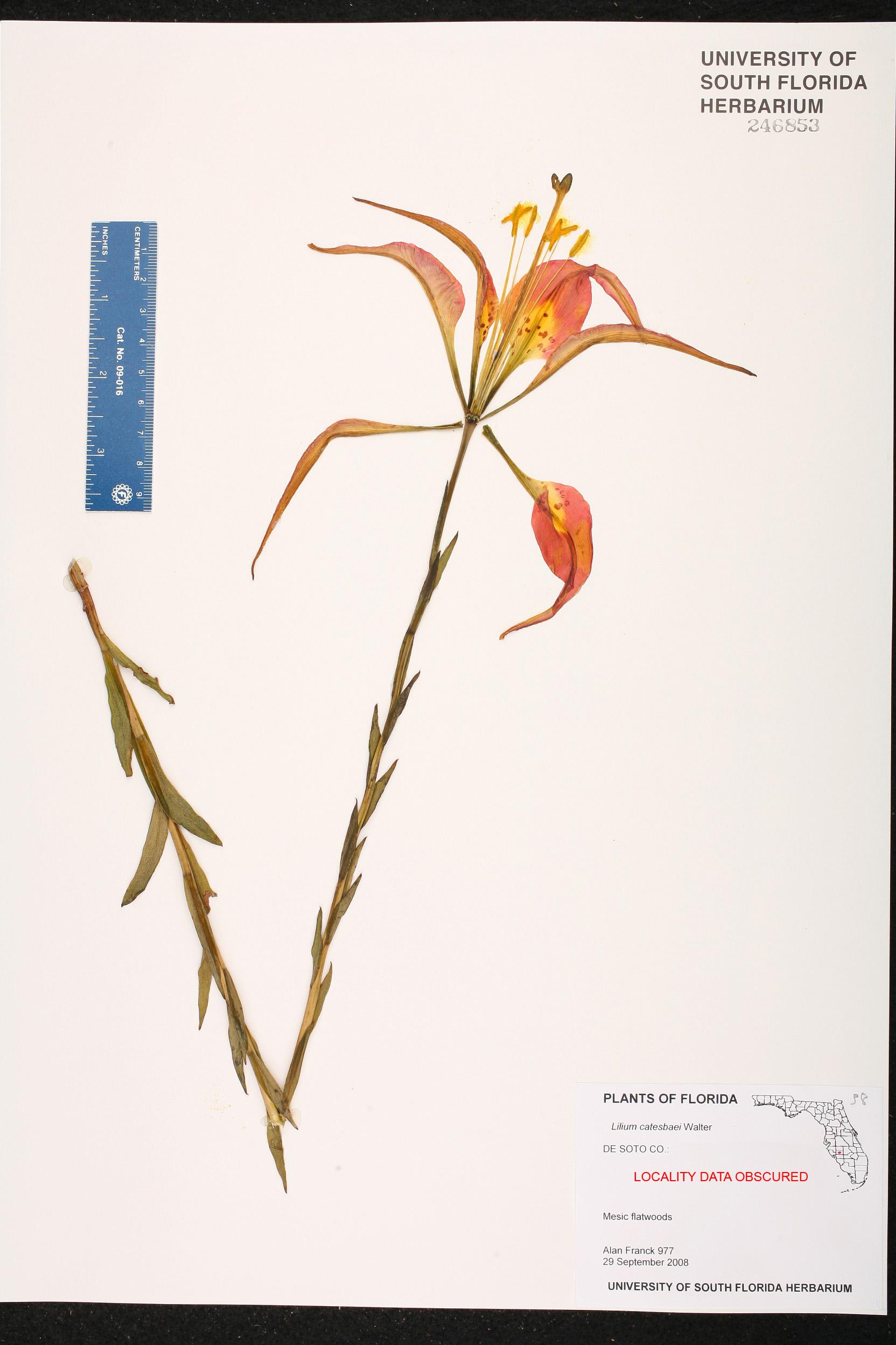 Lilium Catesbaei Species Page Isb Atlas Of Florida Plants