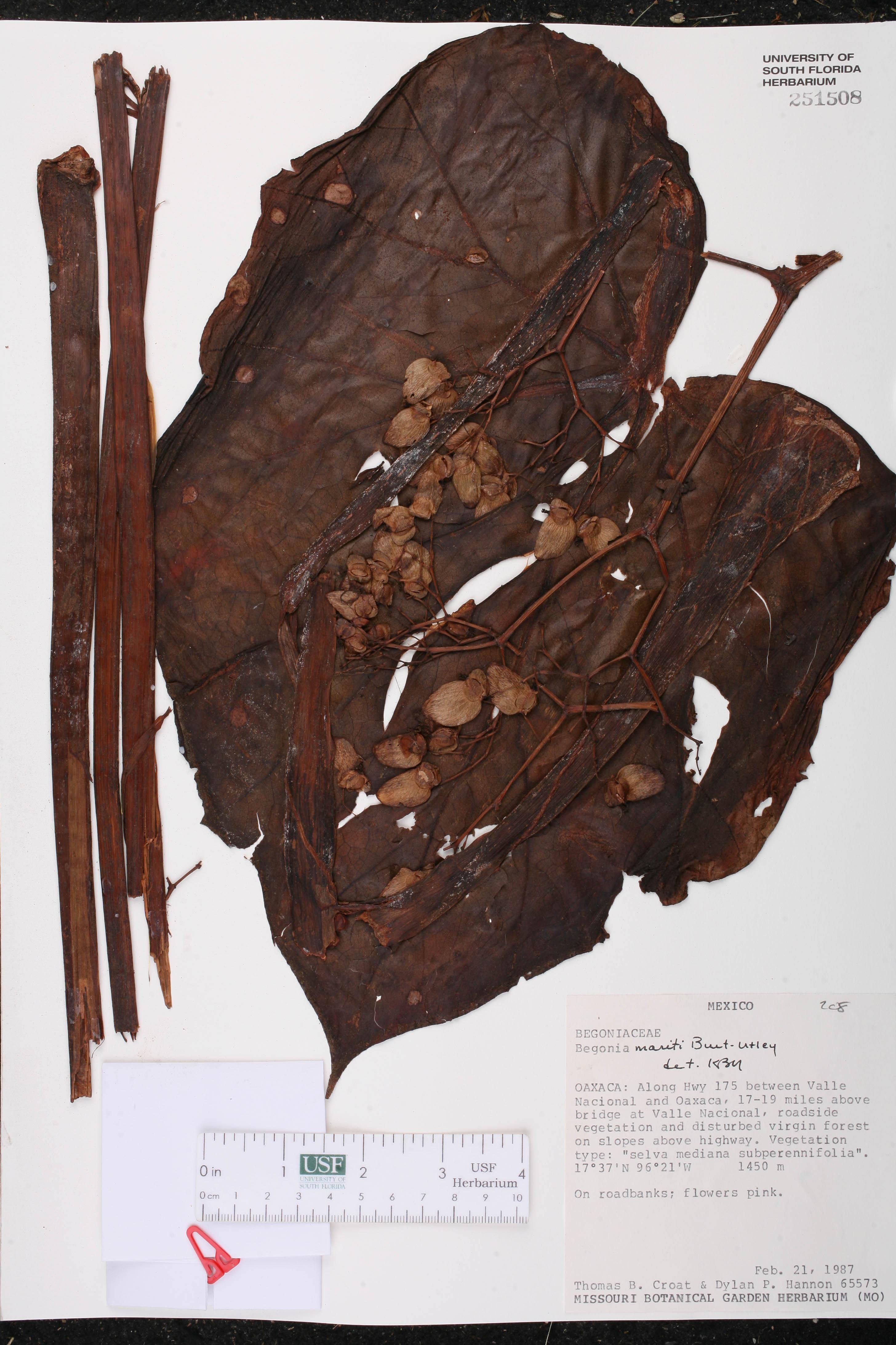 Begonia mariti image