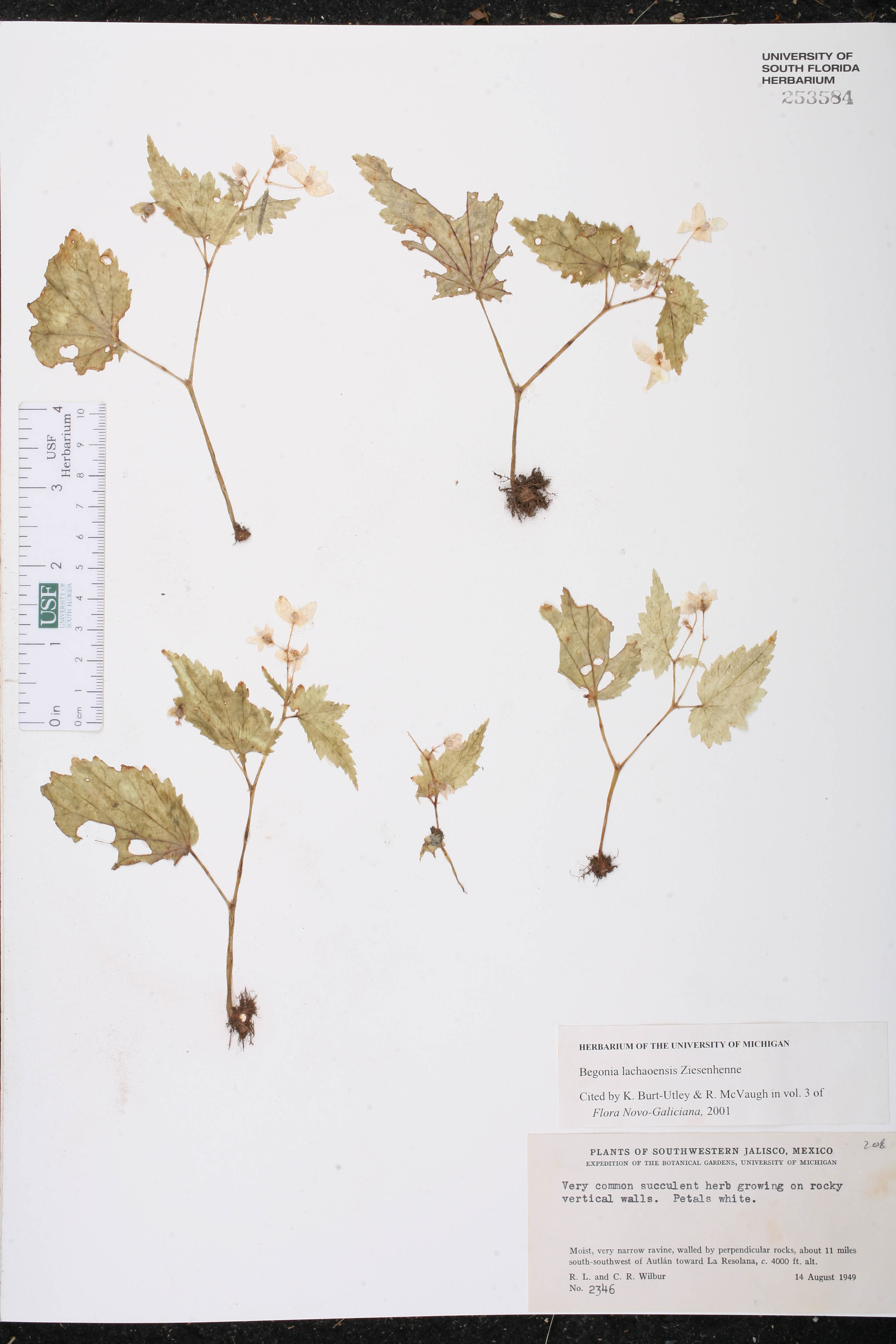 Begonia lachaoensis image