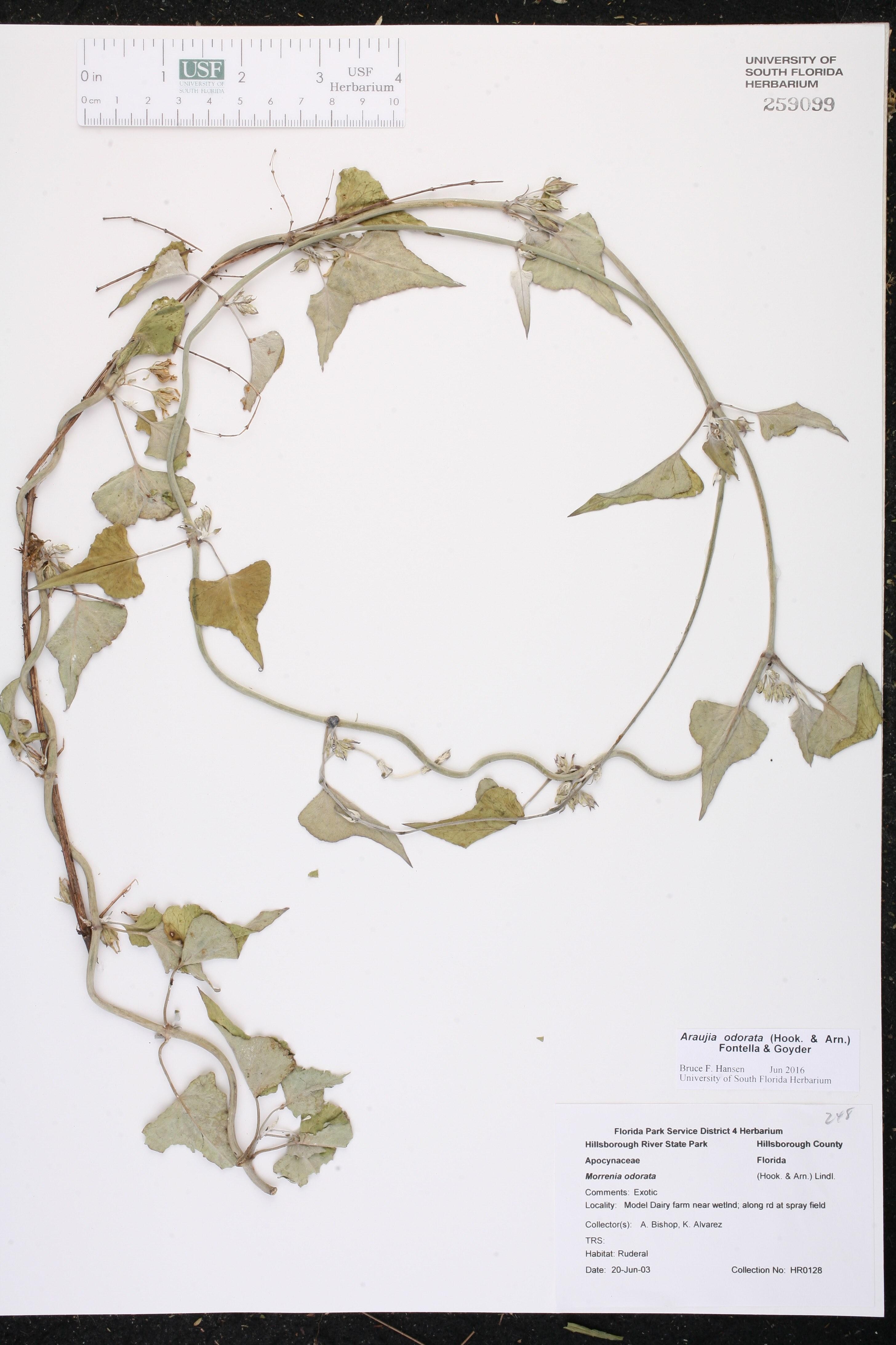 Sorghum bicolor subsp. bicolor - Species Page - ISB: Atlas ...