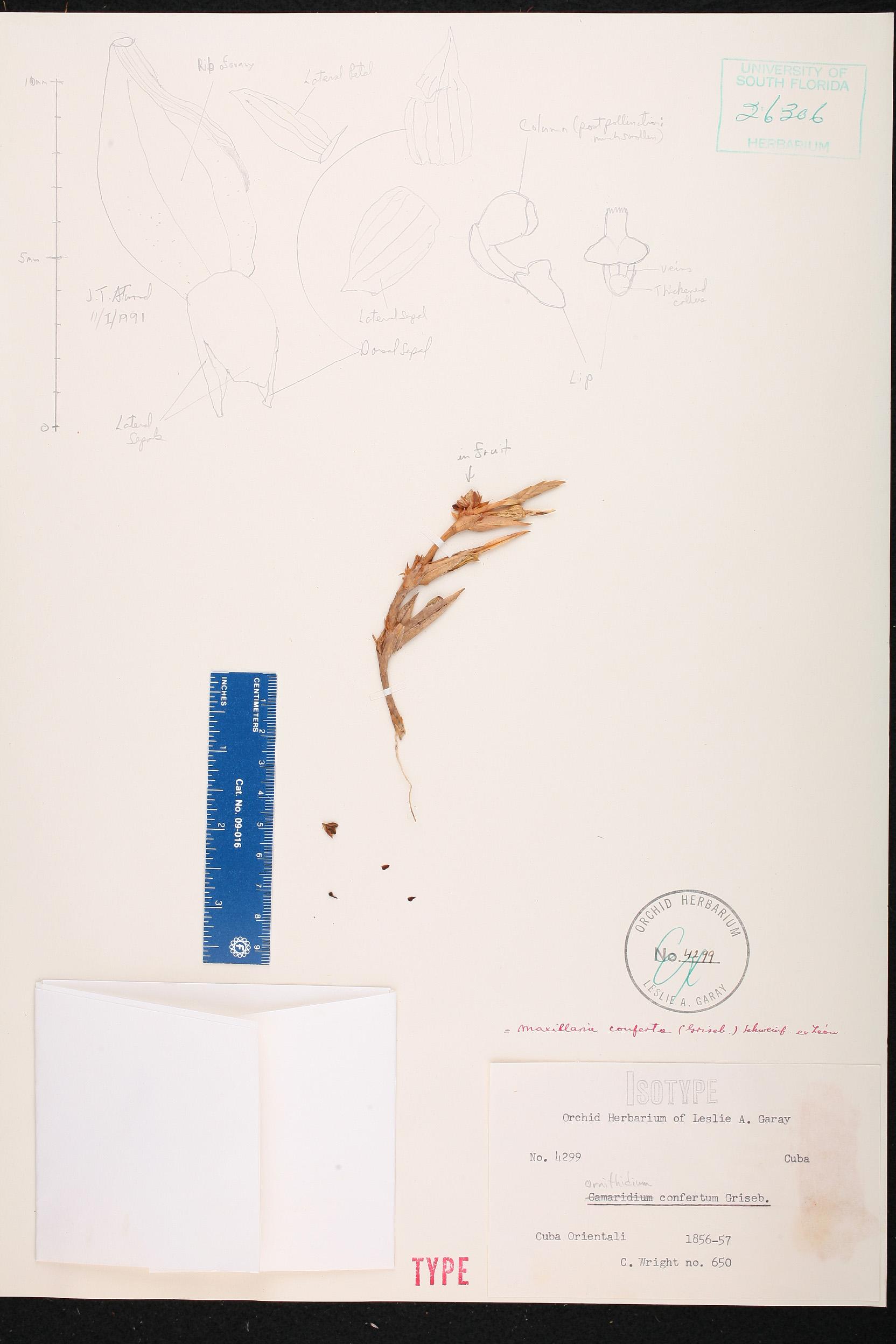 Maxillaria conferta image