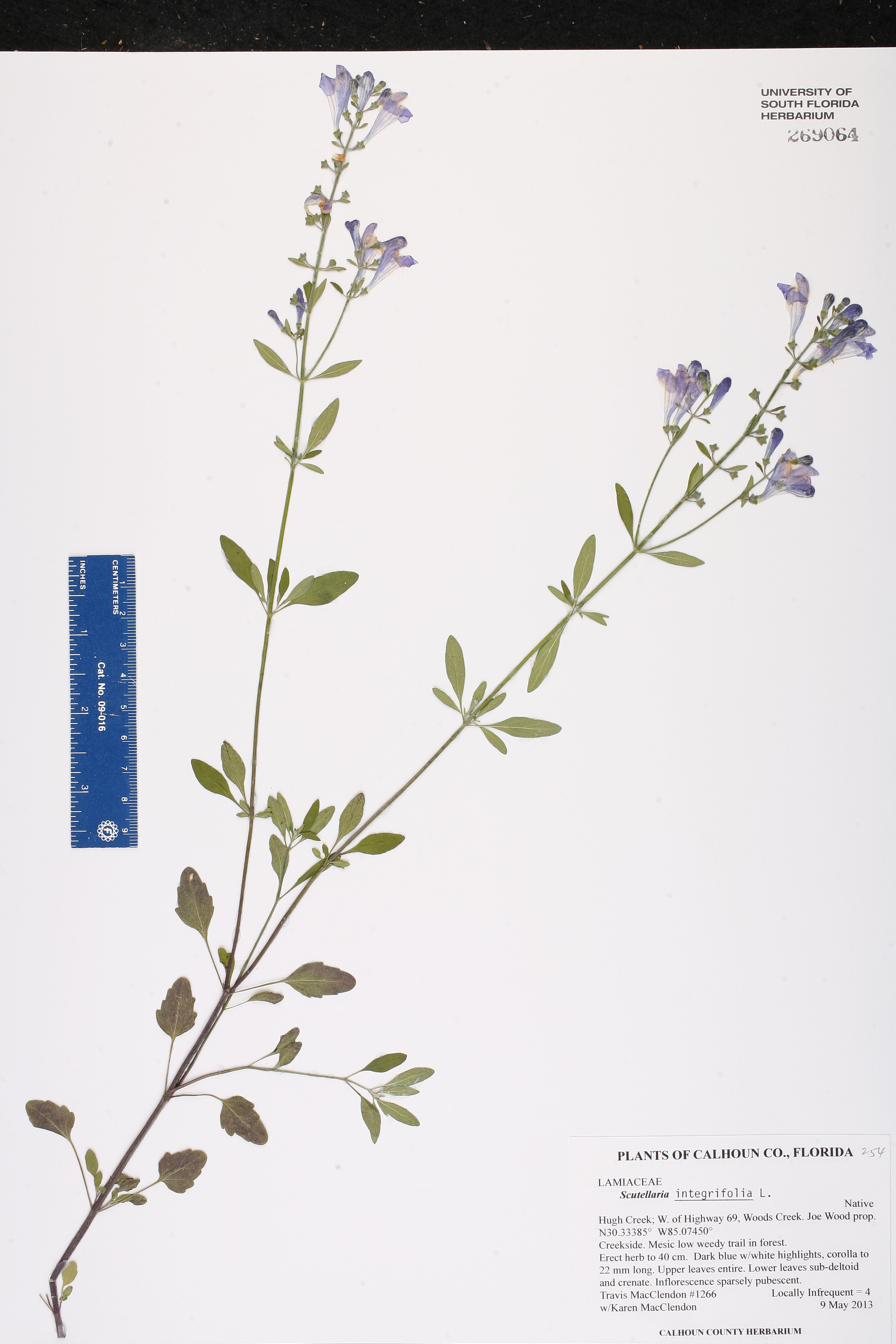 Scutellaria integrifolia - Species Page - ISB: Atlas of