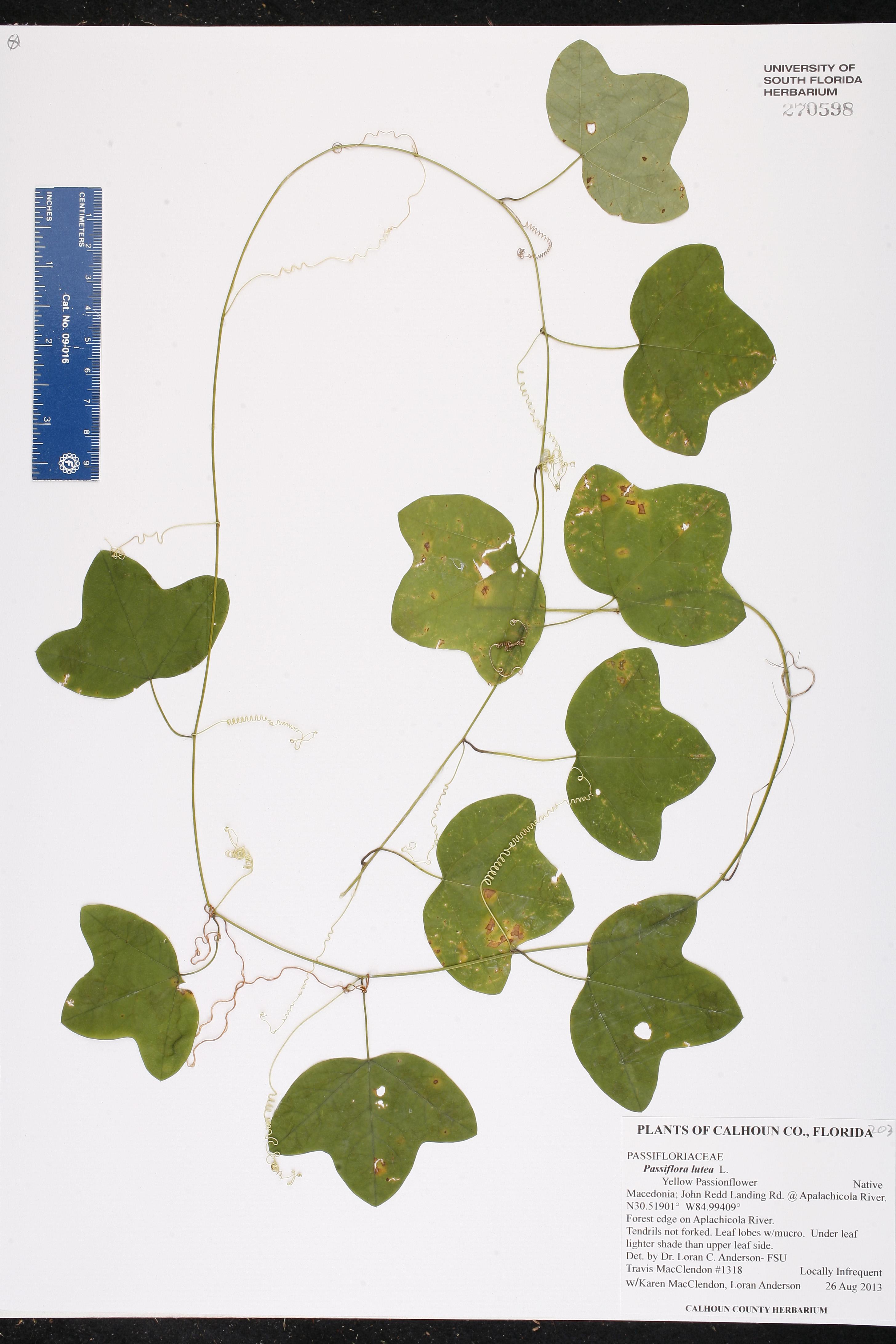 Passiflora Lutea Species Page Isb Atlas Of Florida Plants