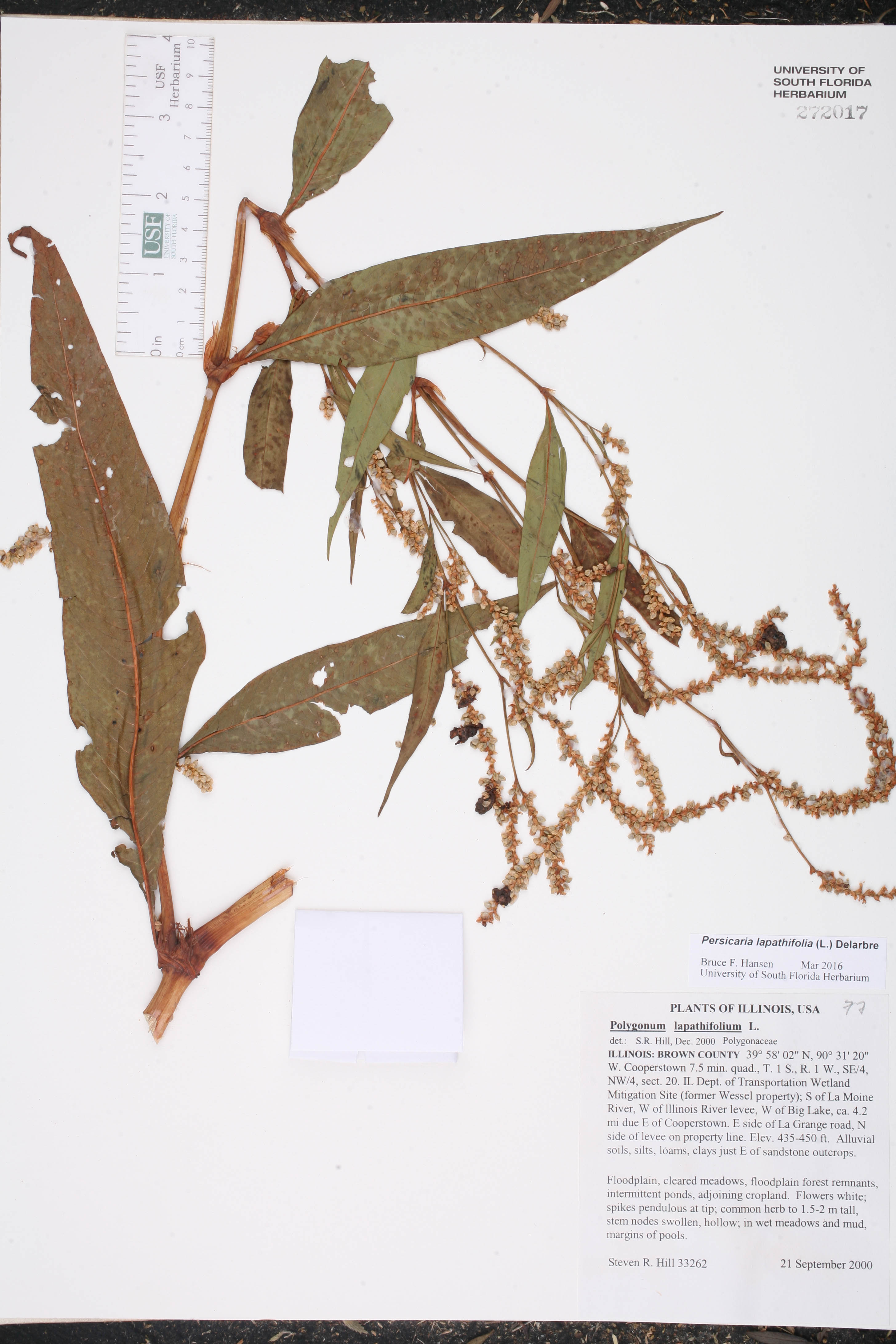 Persicaria lapathifolia - Species Page - ISB: Atlas of