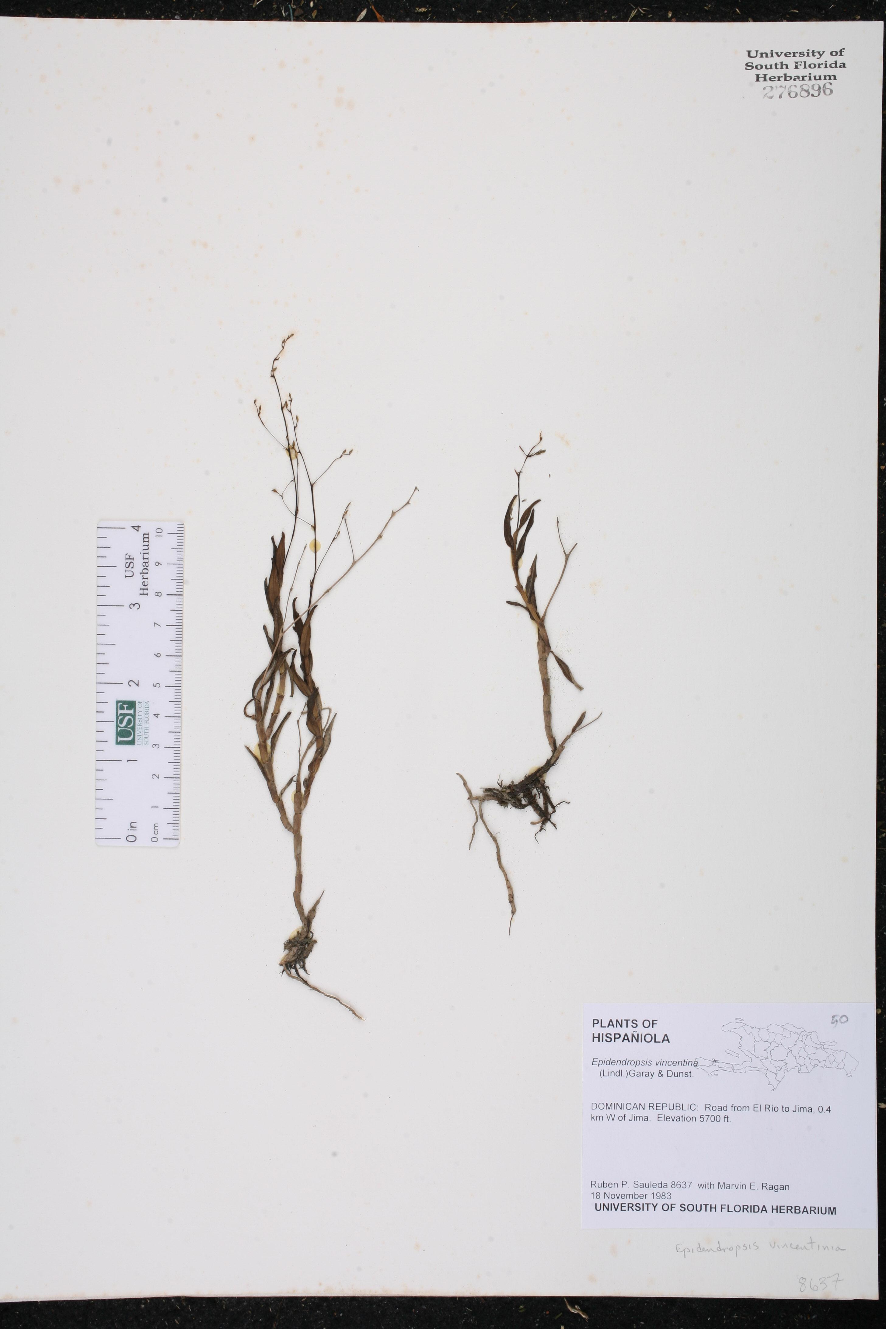 Epidendrum vincentinum image
