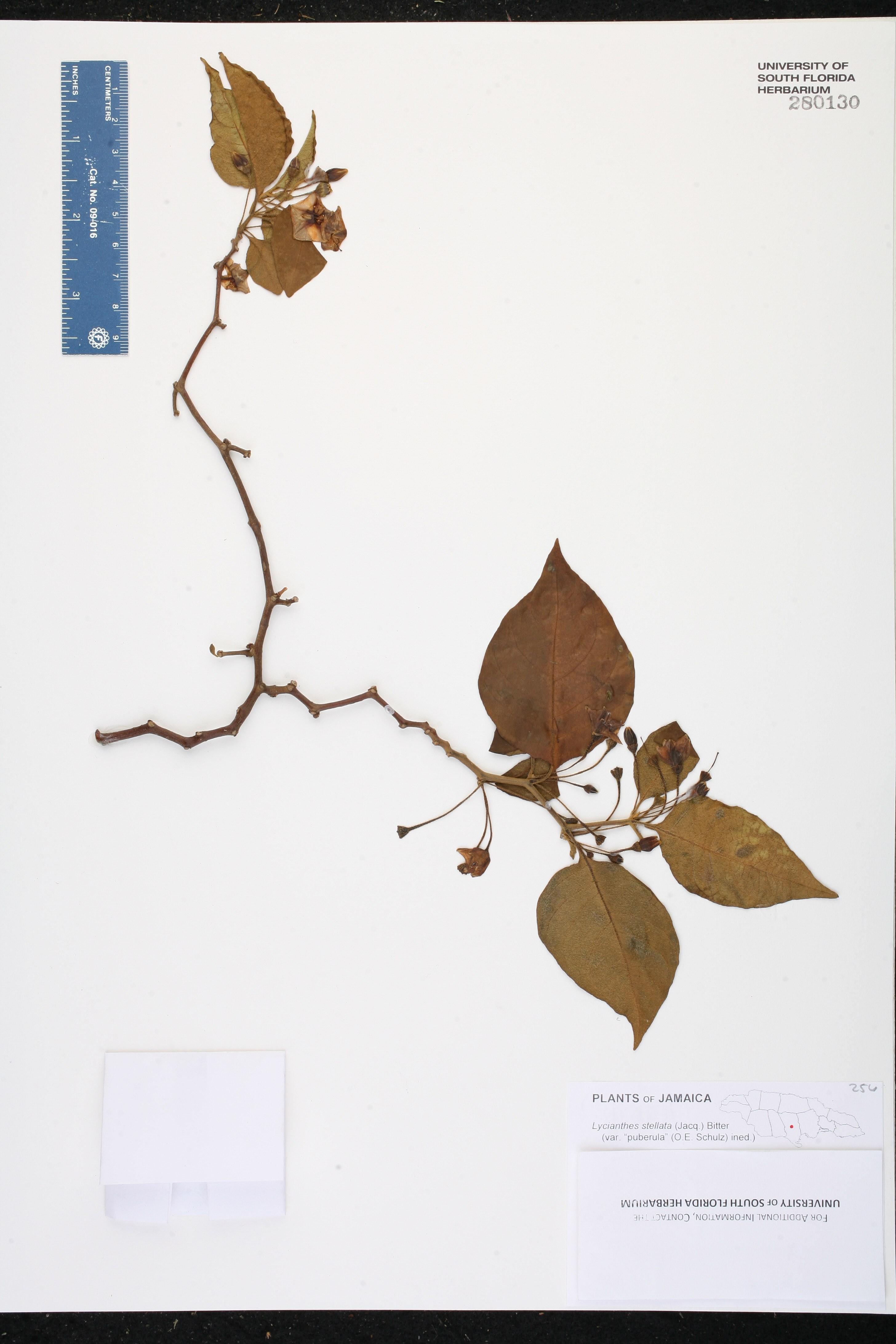 Lycianthes stellata image