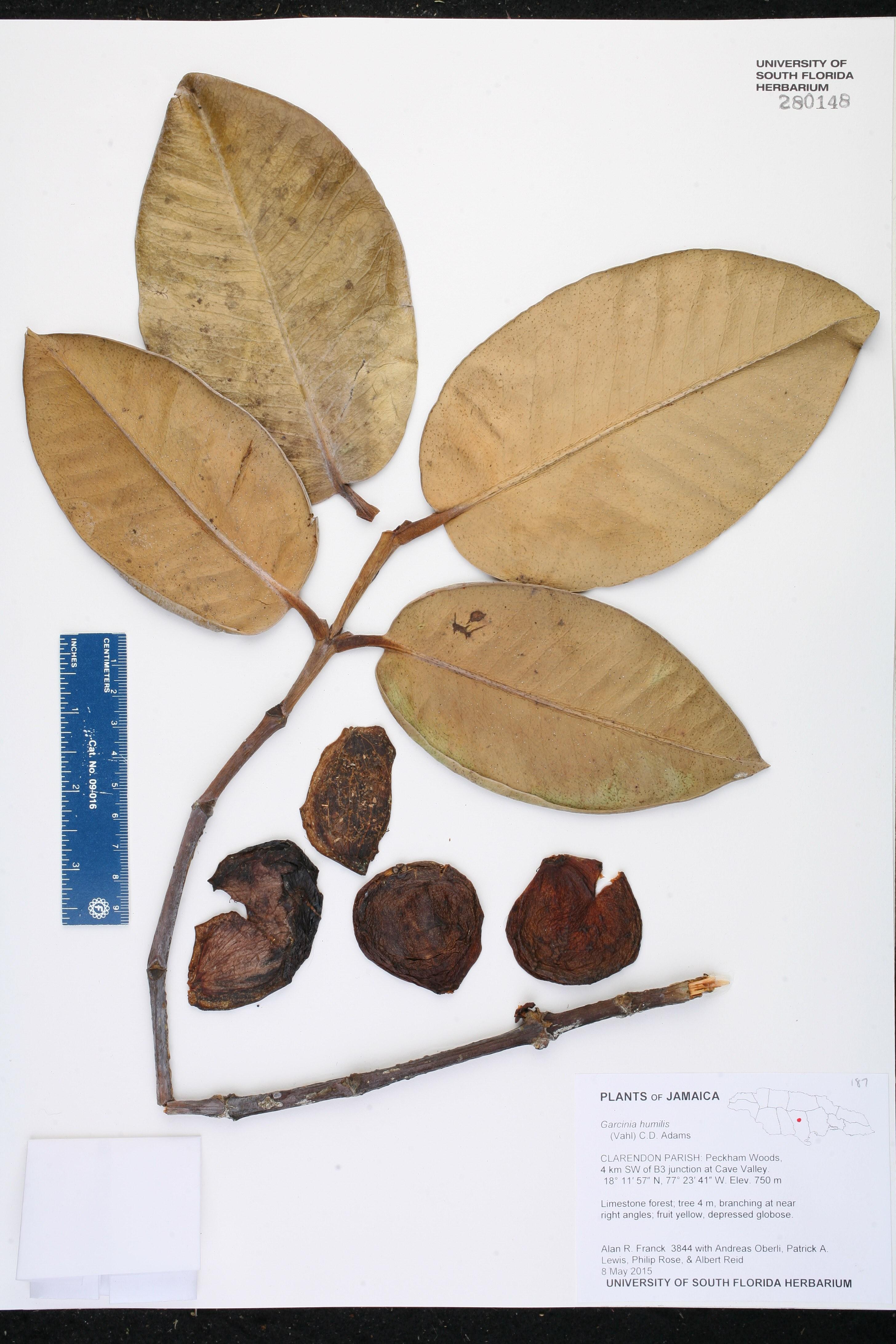 Garcinia humilis image