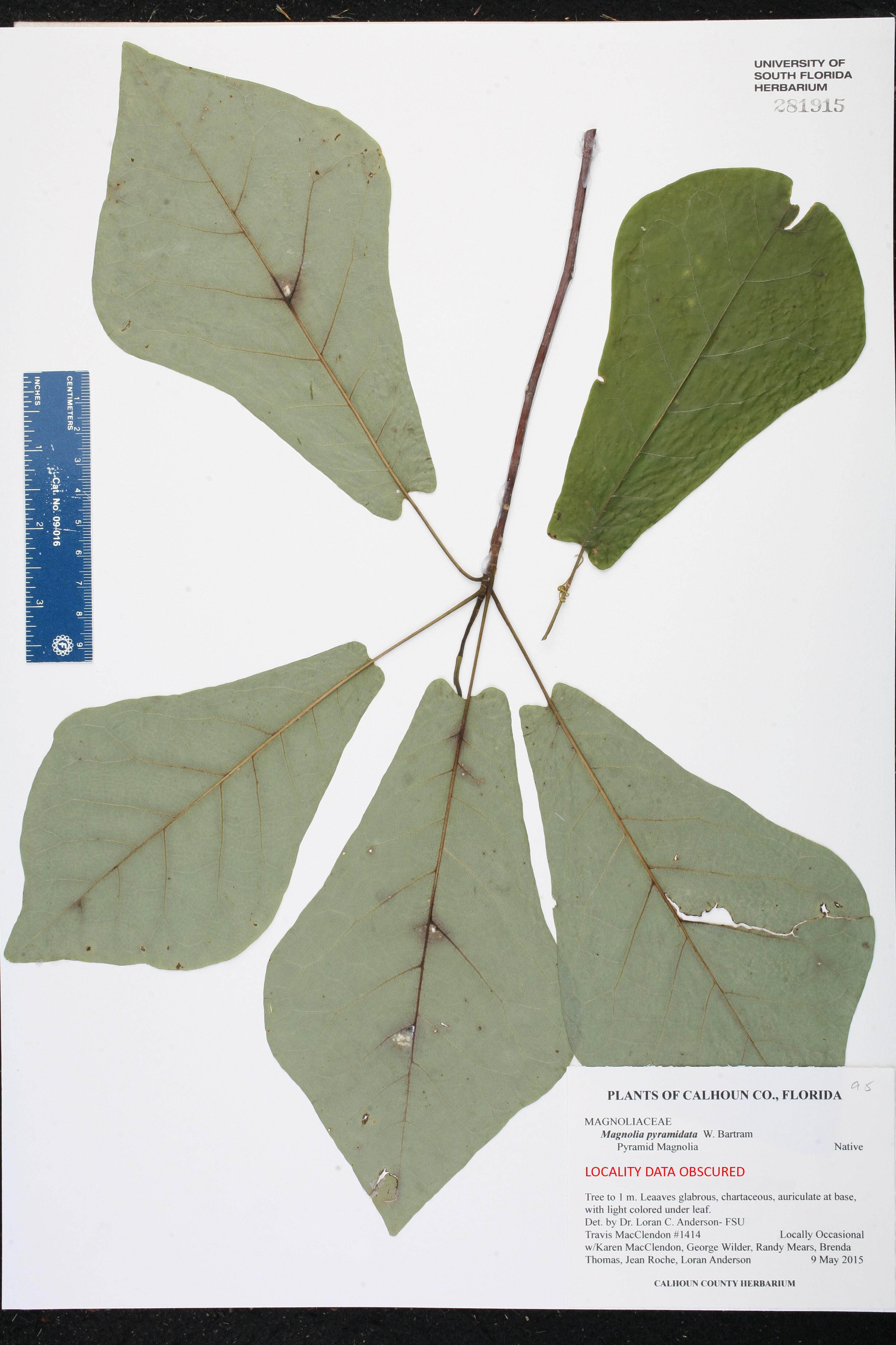 Magnolia Pyramidata Species Page Isb Atlas Of Florida Plants