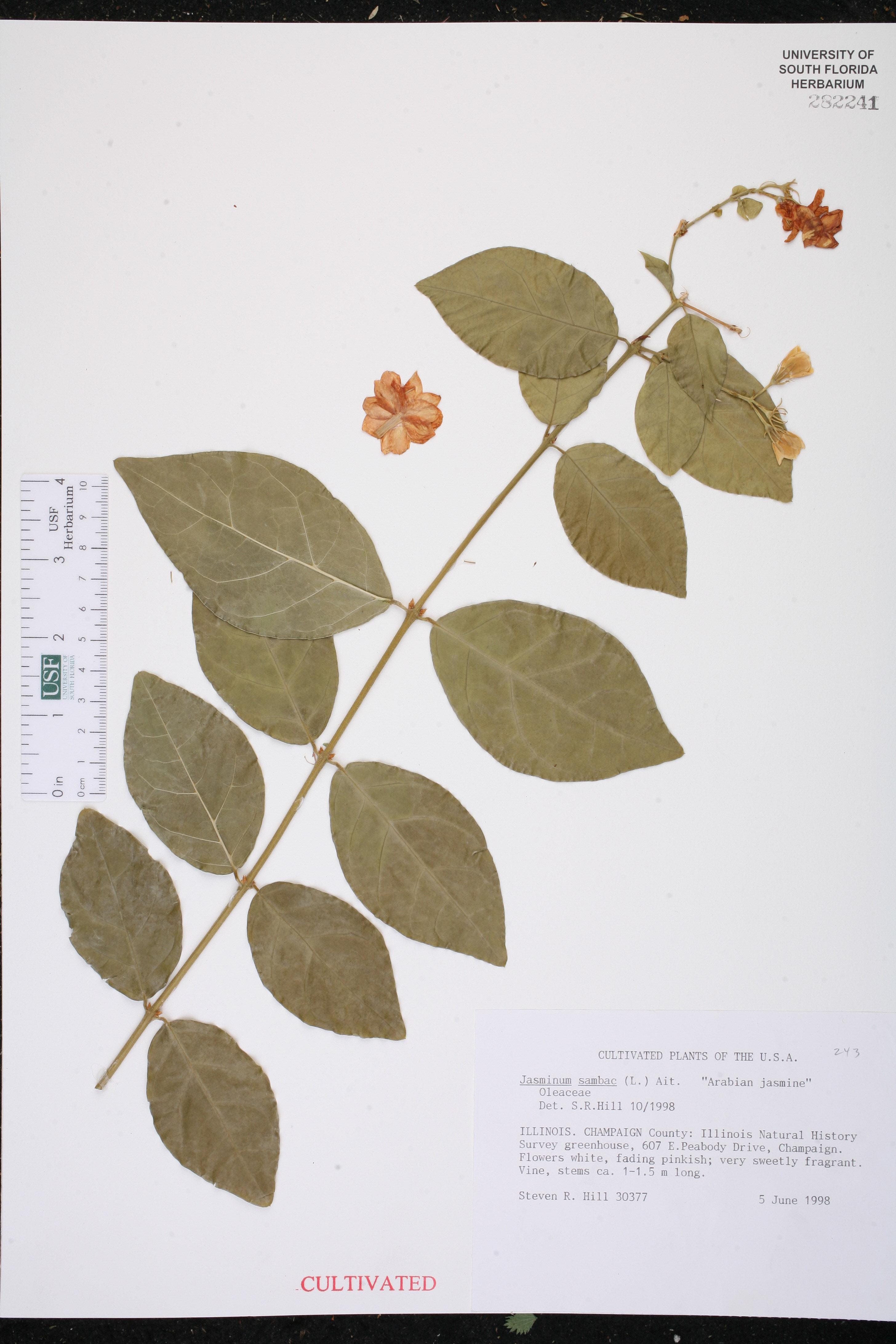 Herbarium specimen details isb atlas of florida plants family name izmirmasajfo
