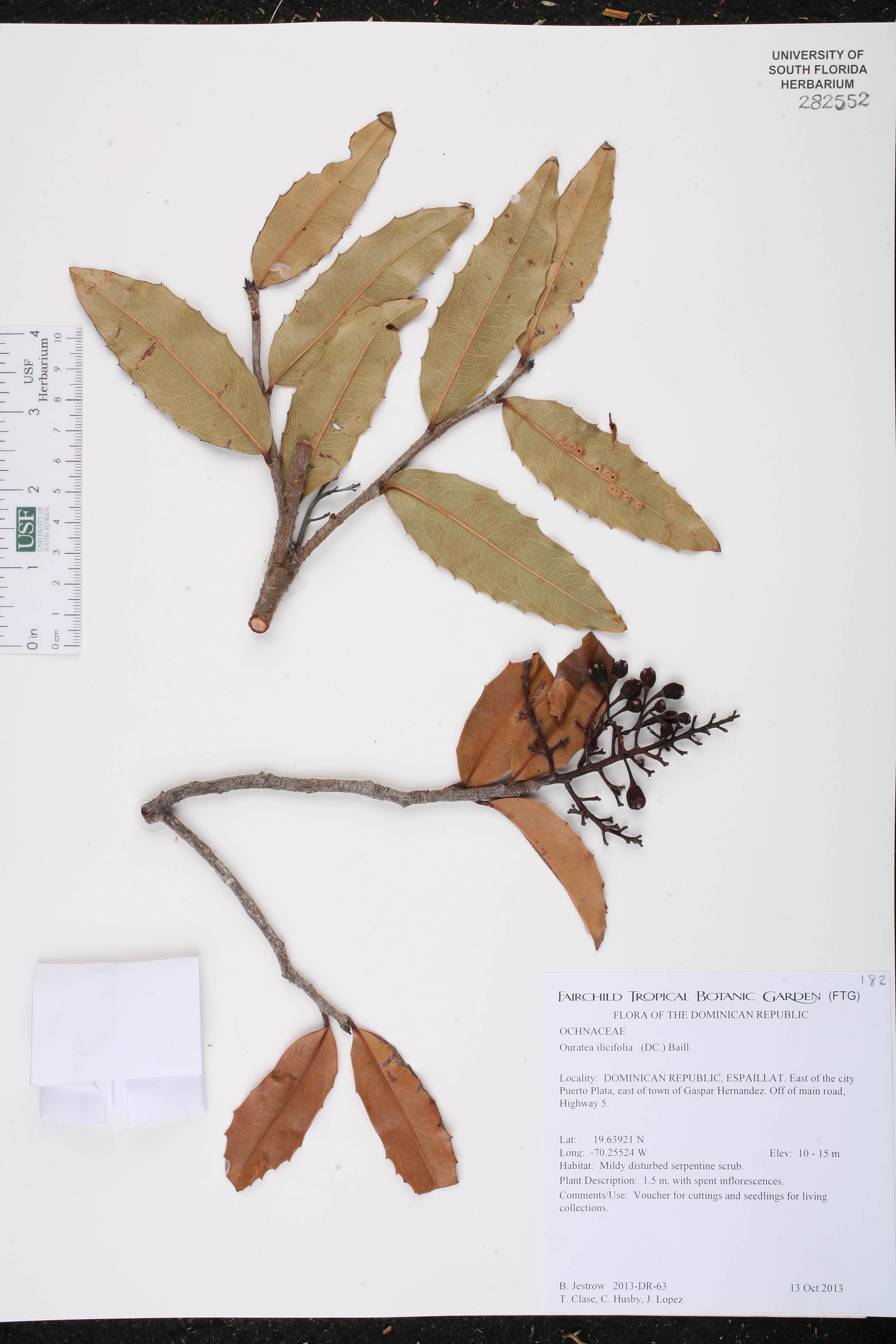 Ouratea ilicifolia image