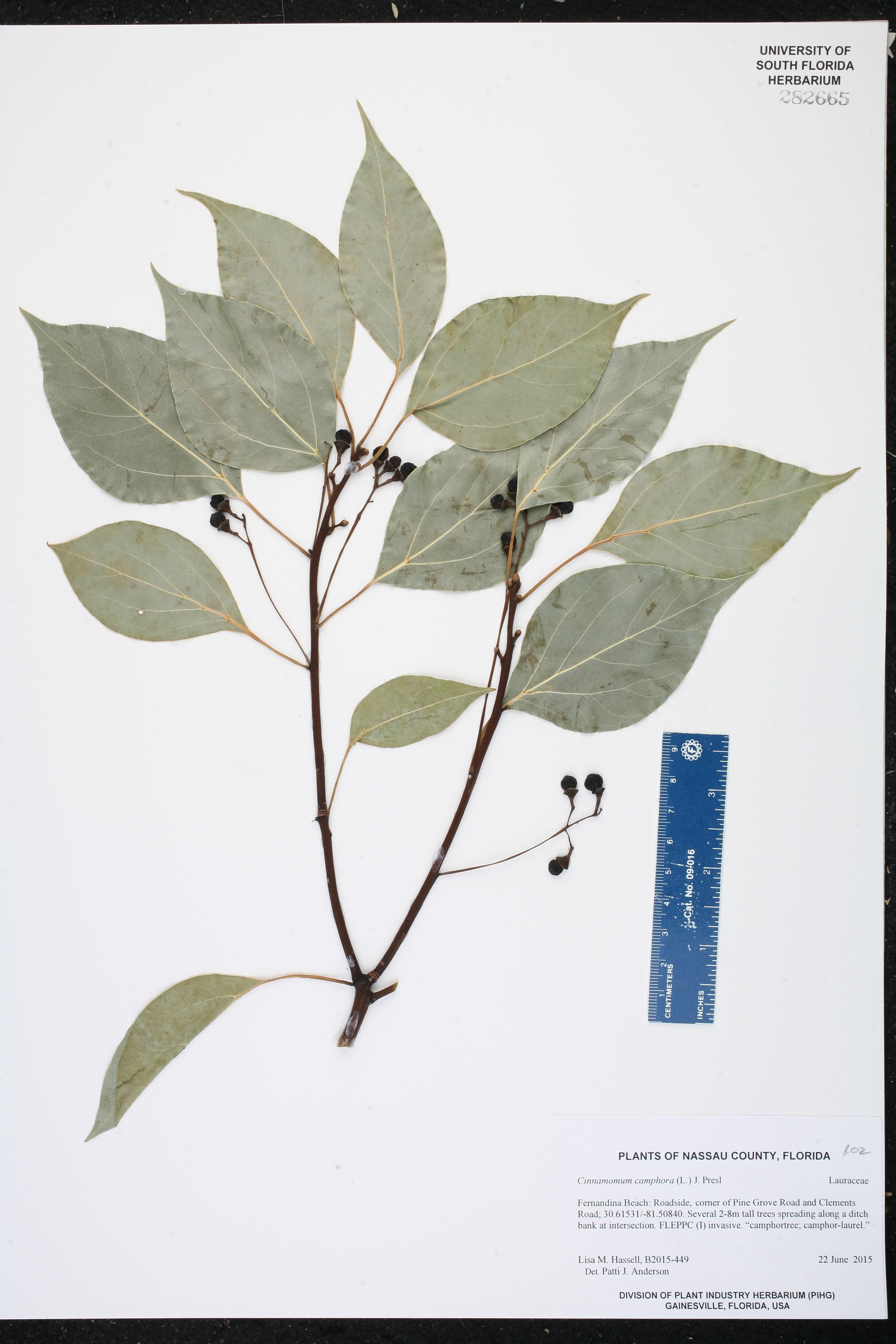 Cinnamomum camphora - Species Page - ISB: Atlas of Florida