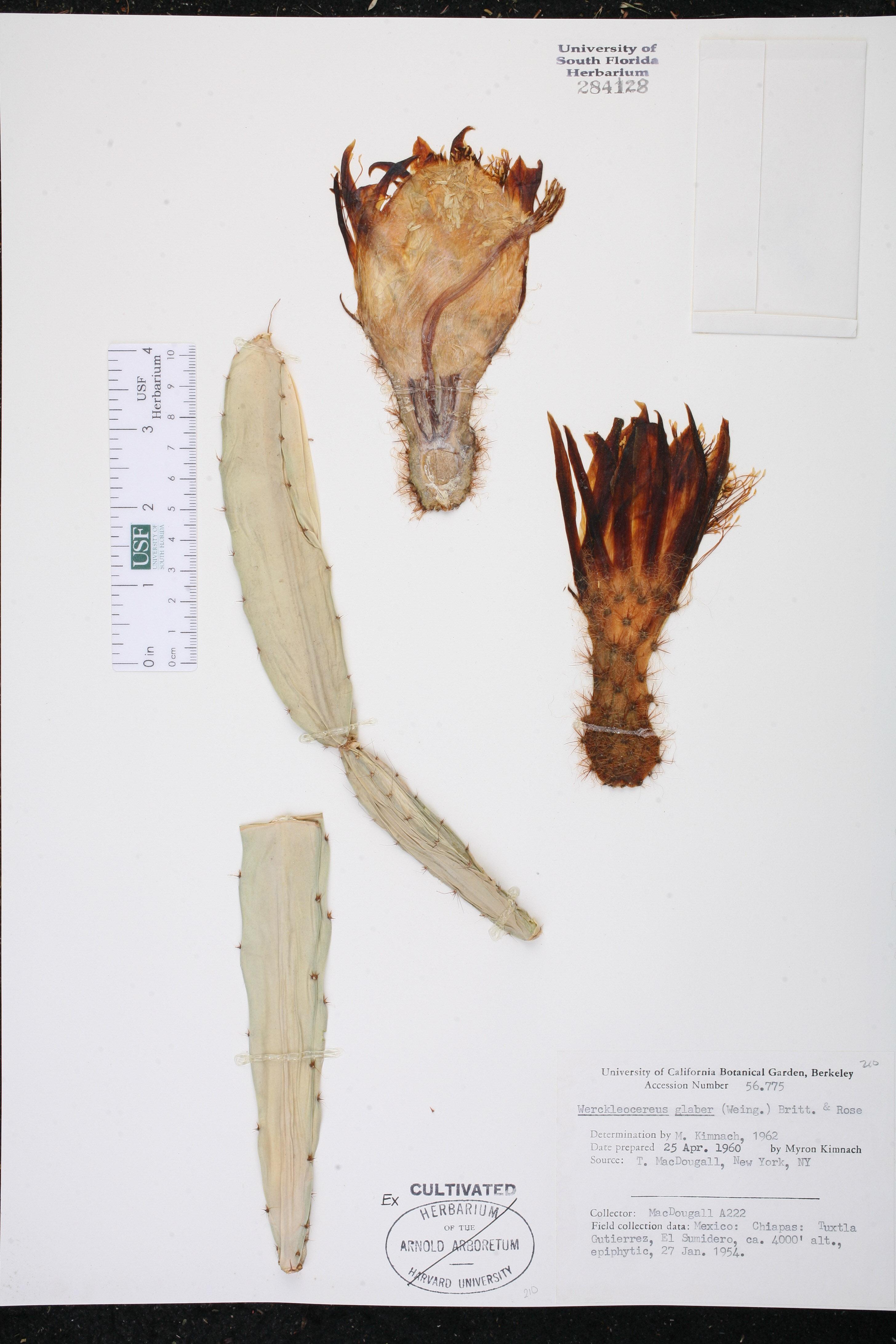 Weberocereus glaber image