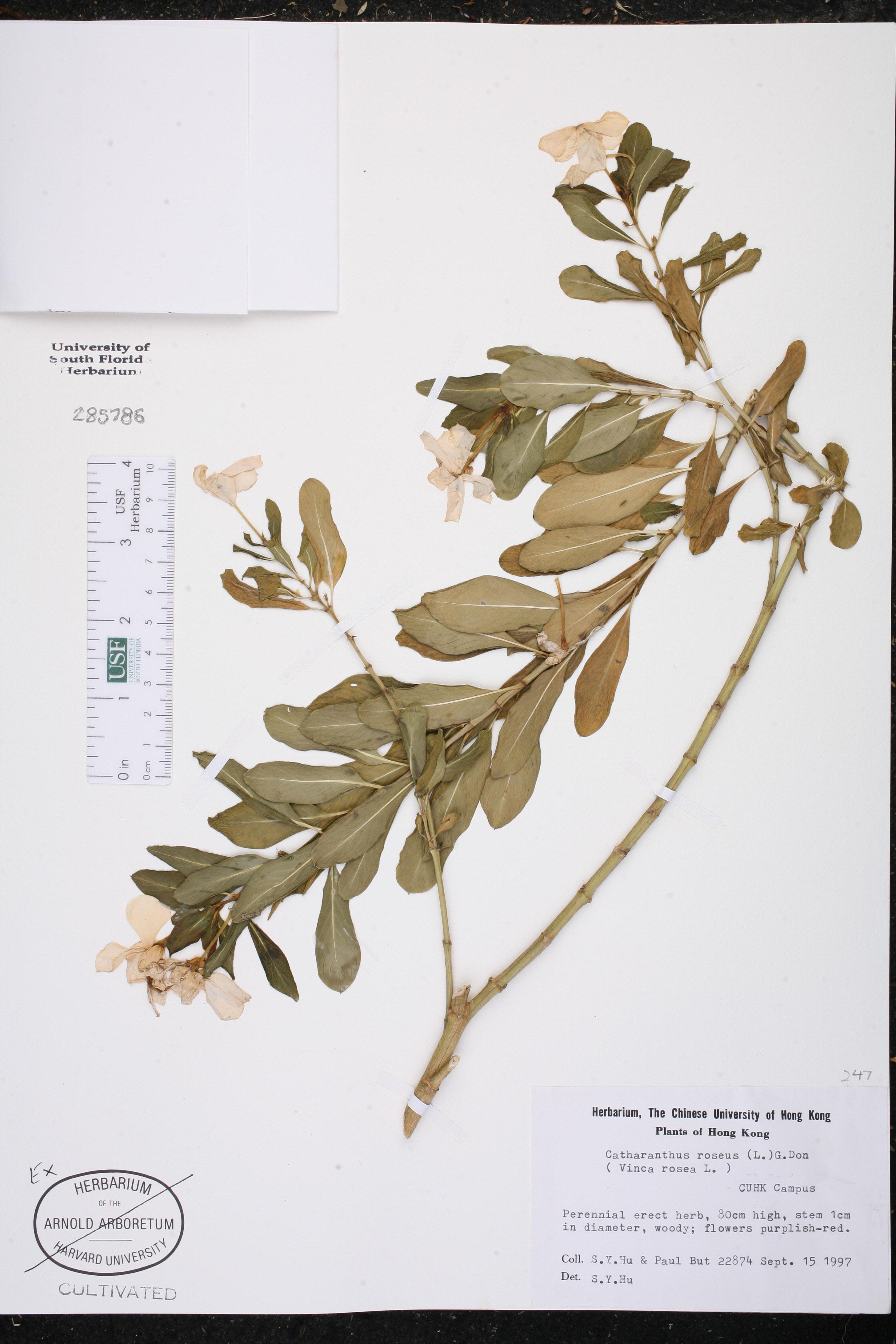 Catharanthus roseus - Species Page - ISB: Atlas of Florida ...