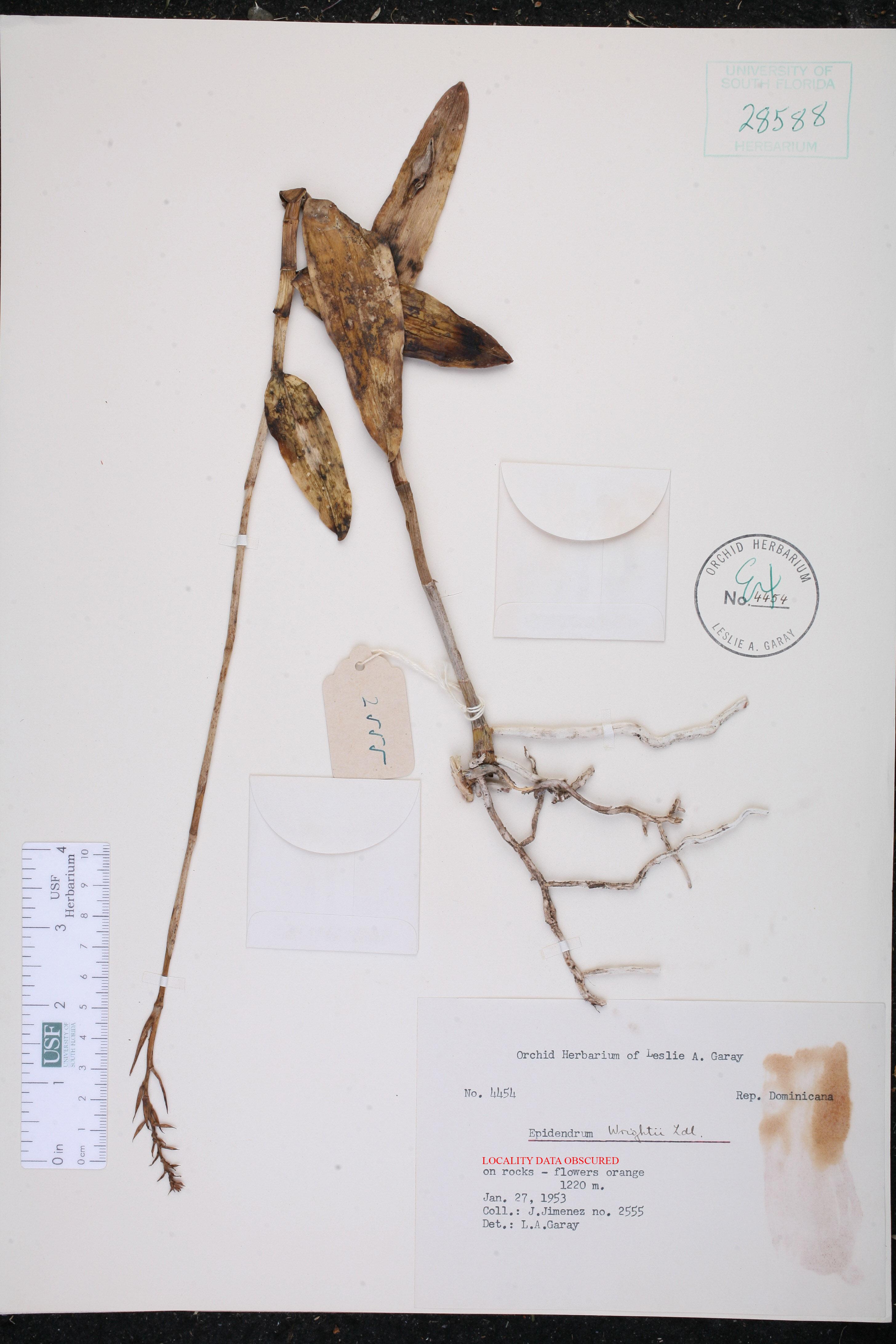 Epidendrum wrightii image