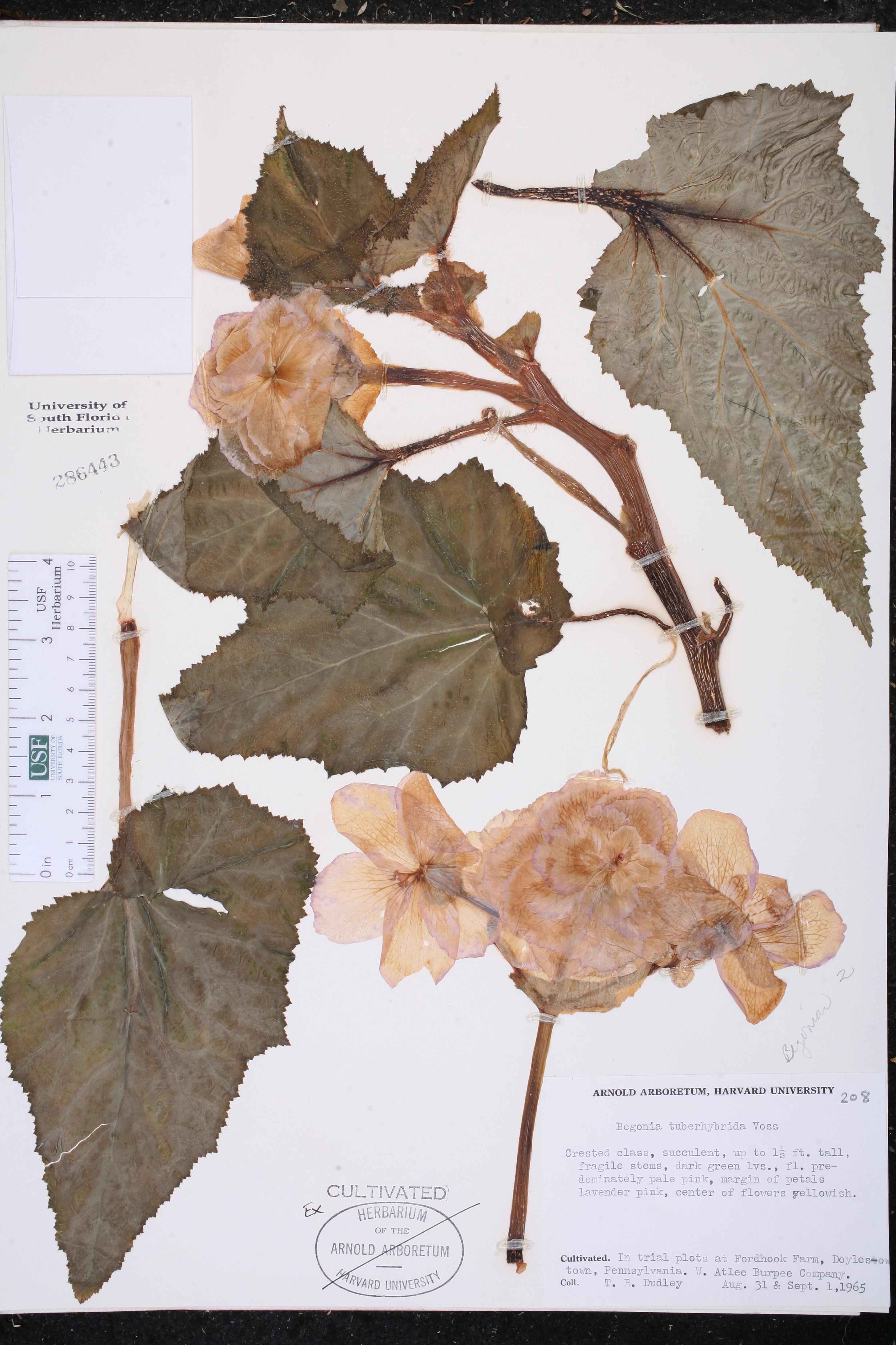 Begonia x tuberhybrida image