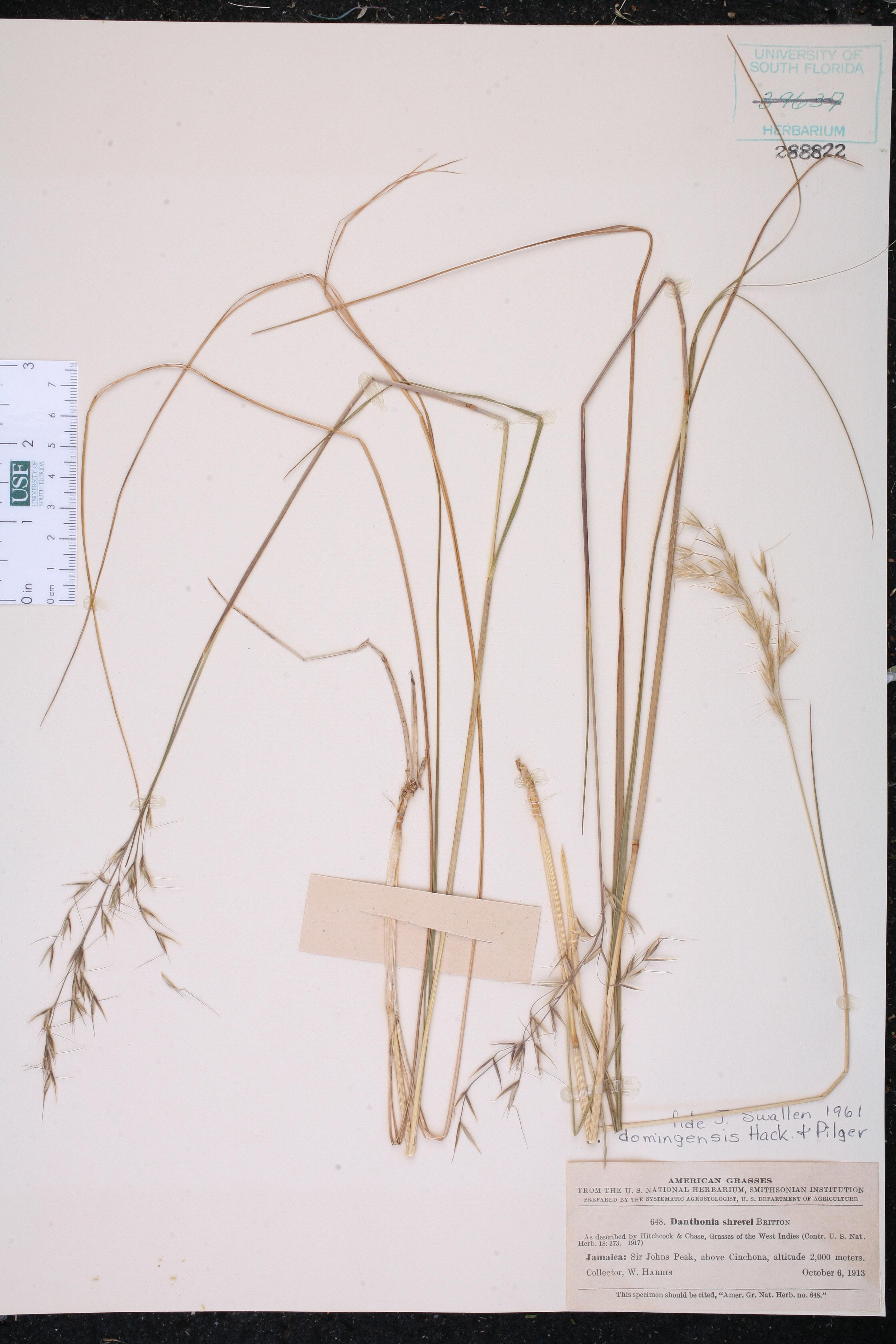 Danthonia domingensis image