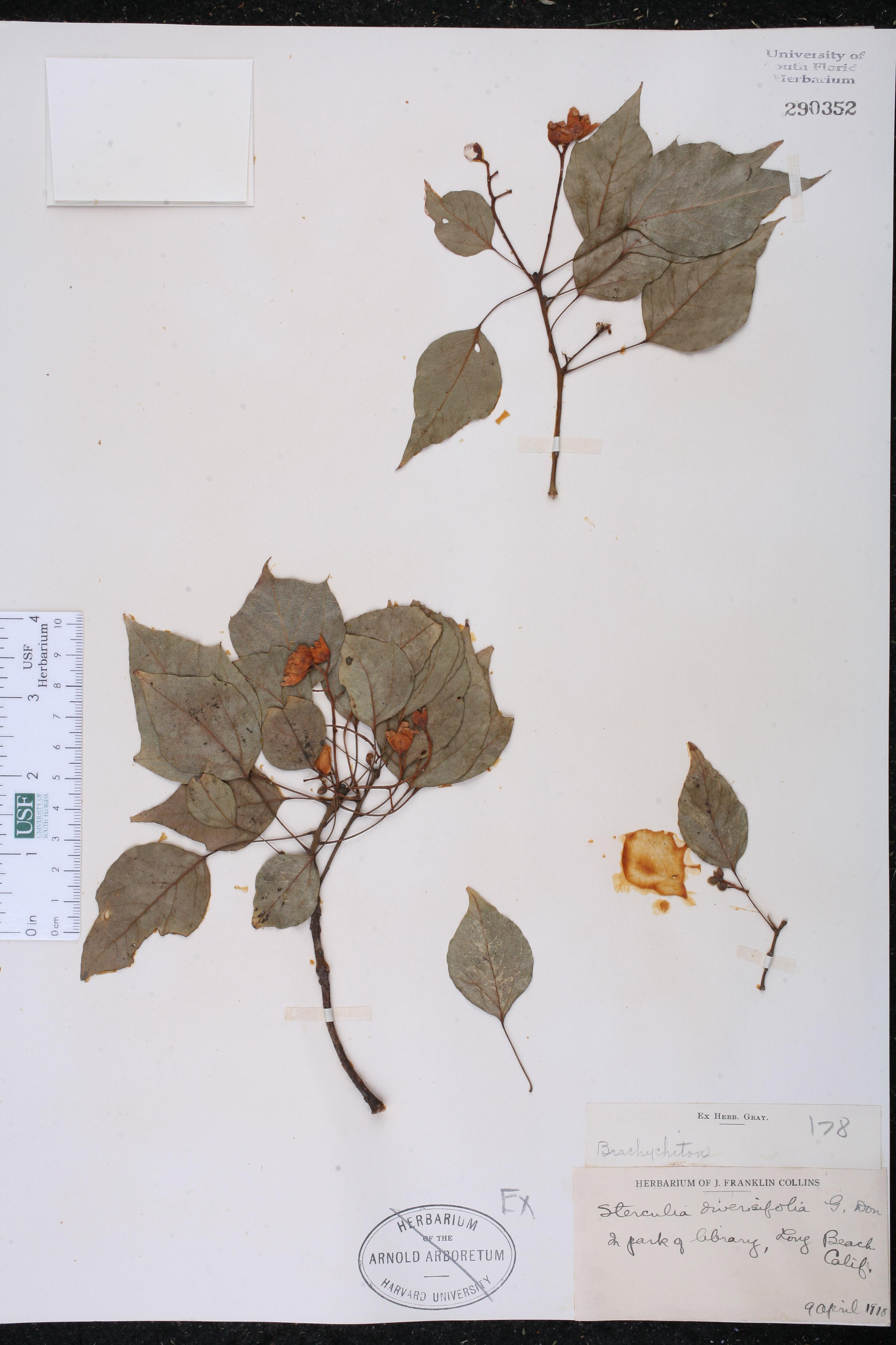 Brachychiton diversifolius image