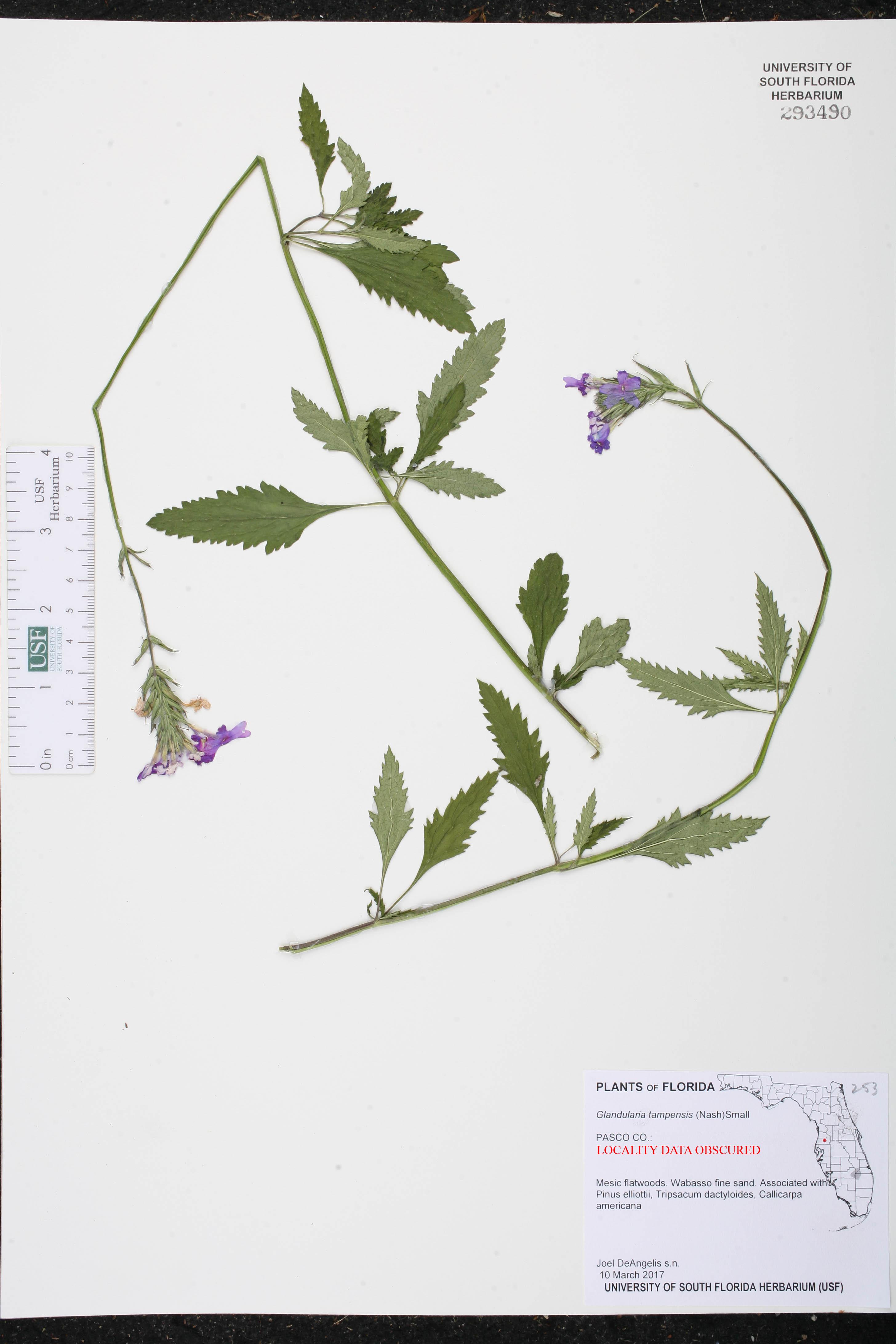 Glandularia tampensis image
