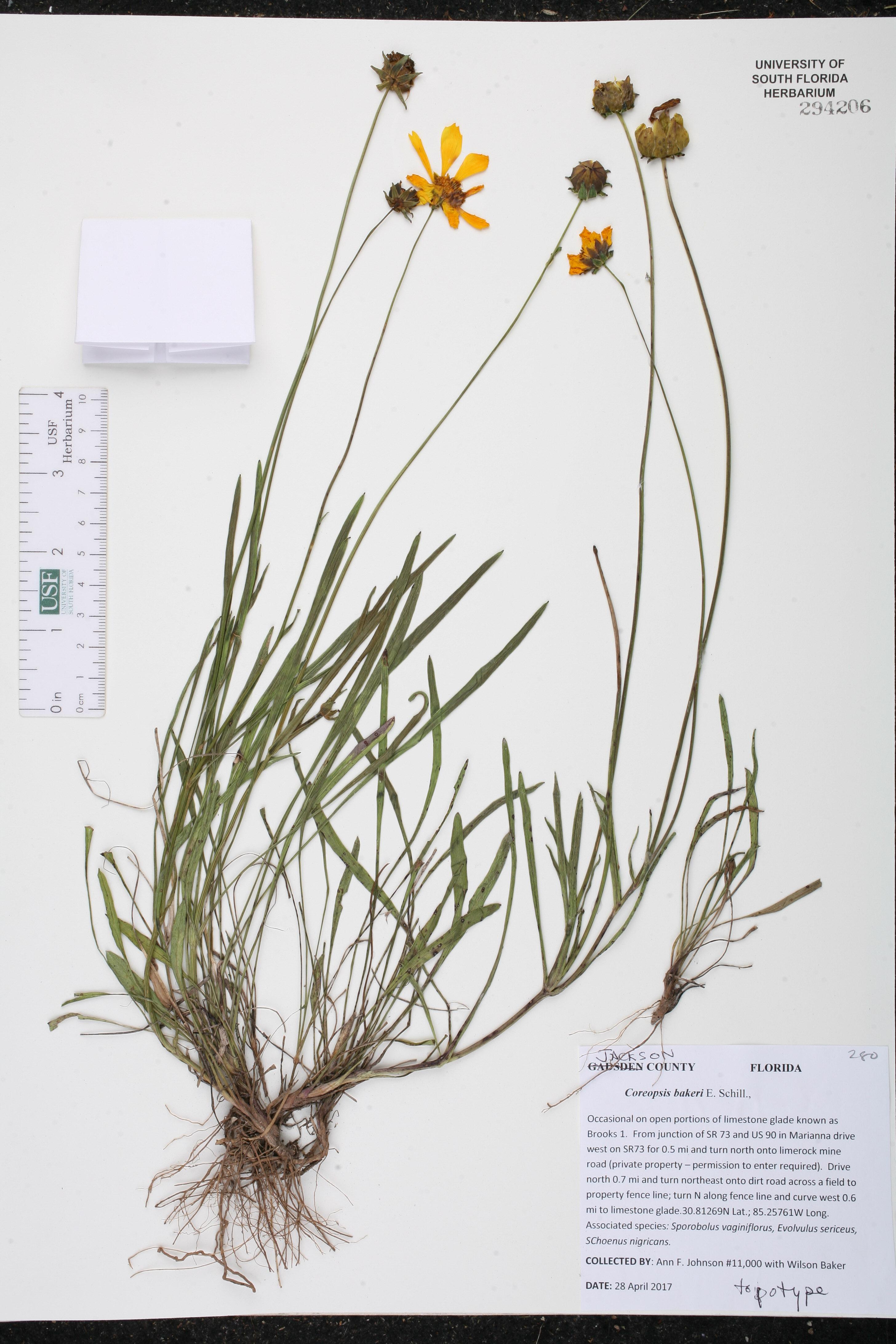 Coreopsis bakeri image