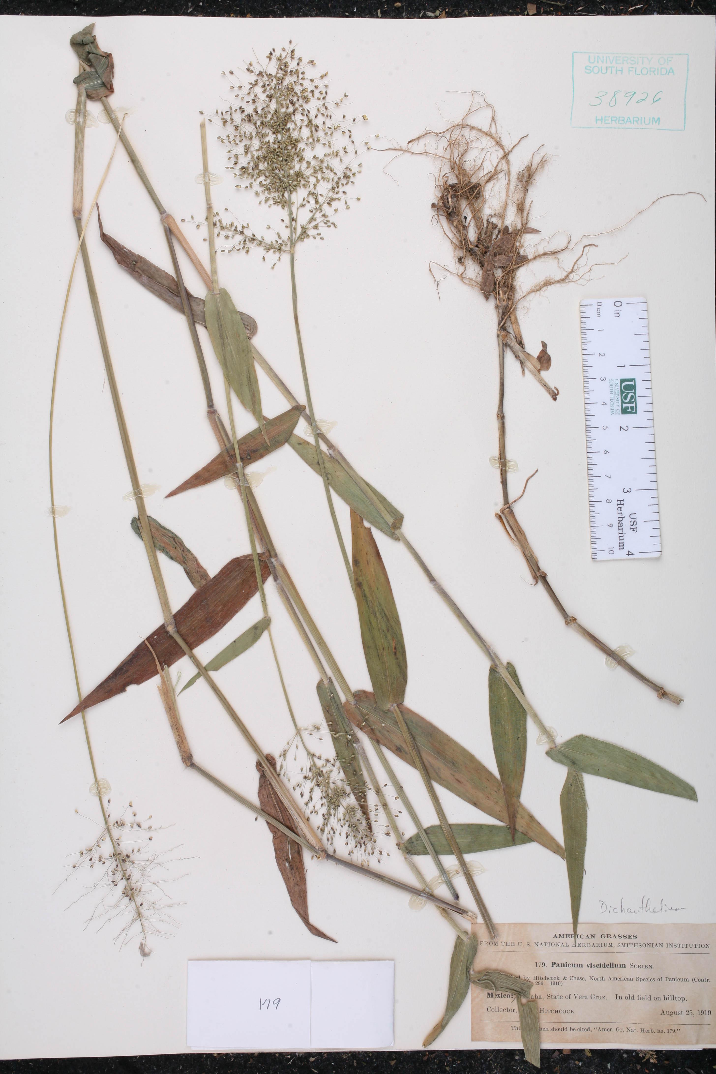 Dichanthelium viscidellum image