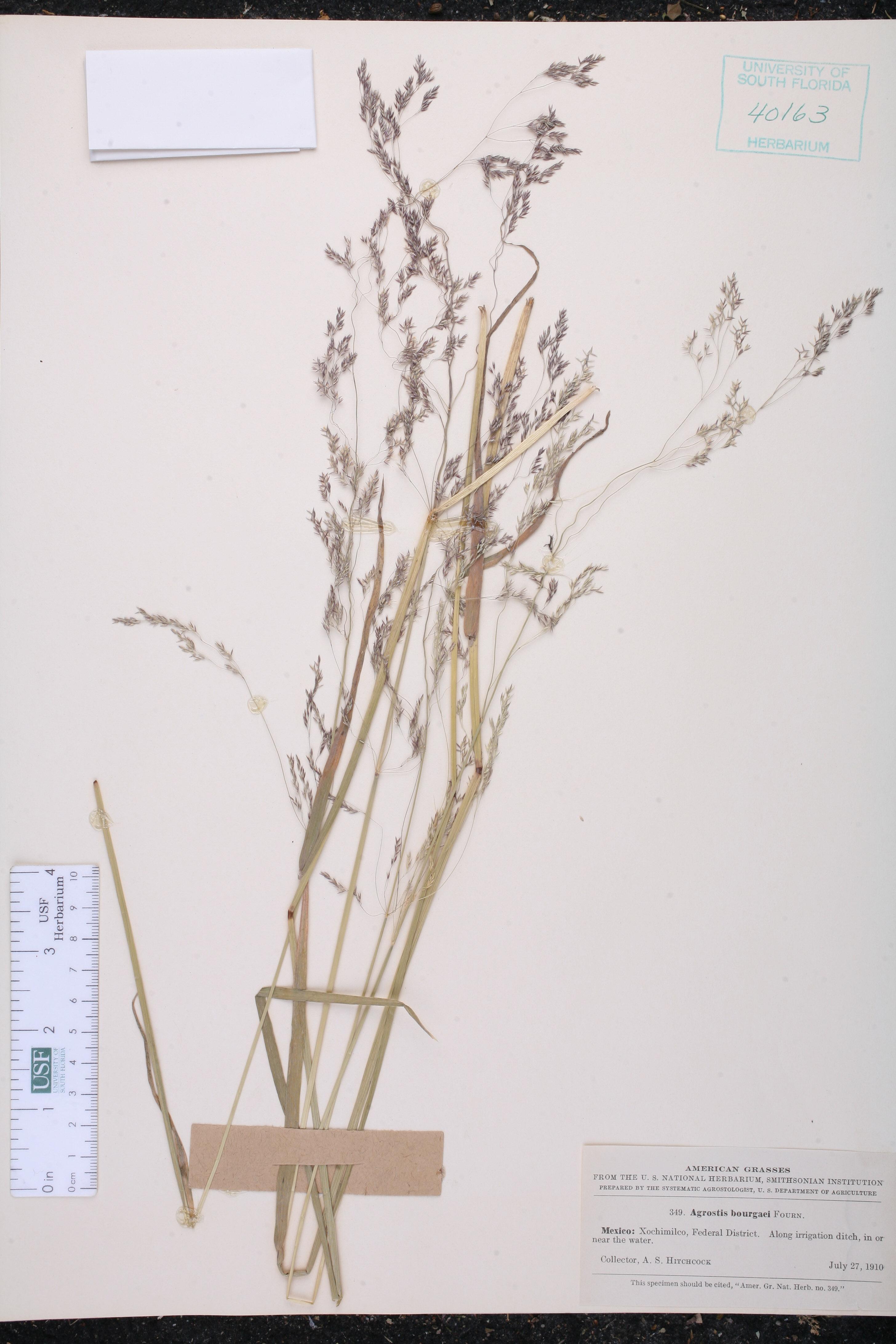 Agrostis bourgaei image