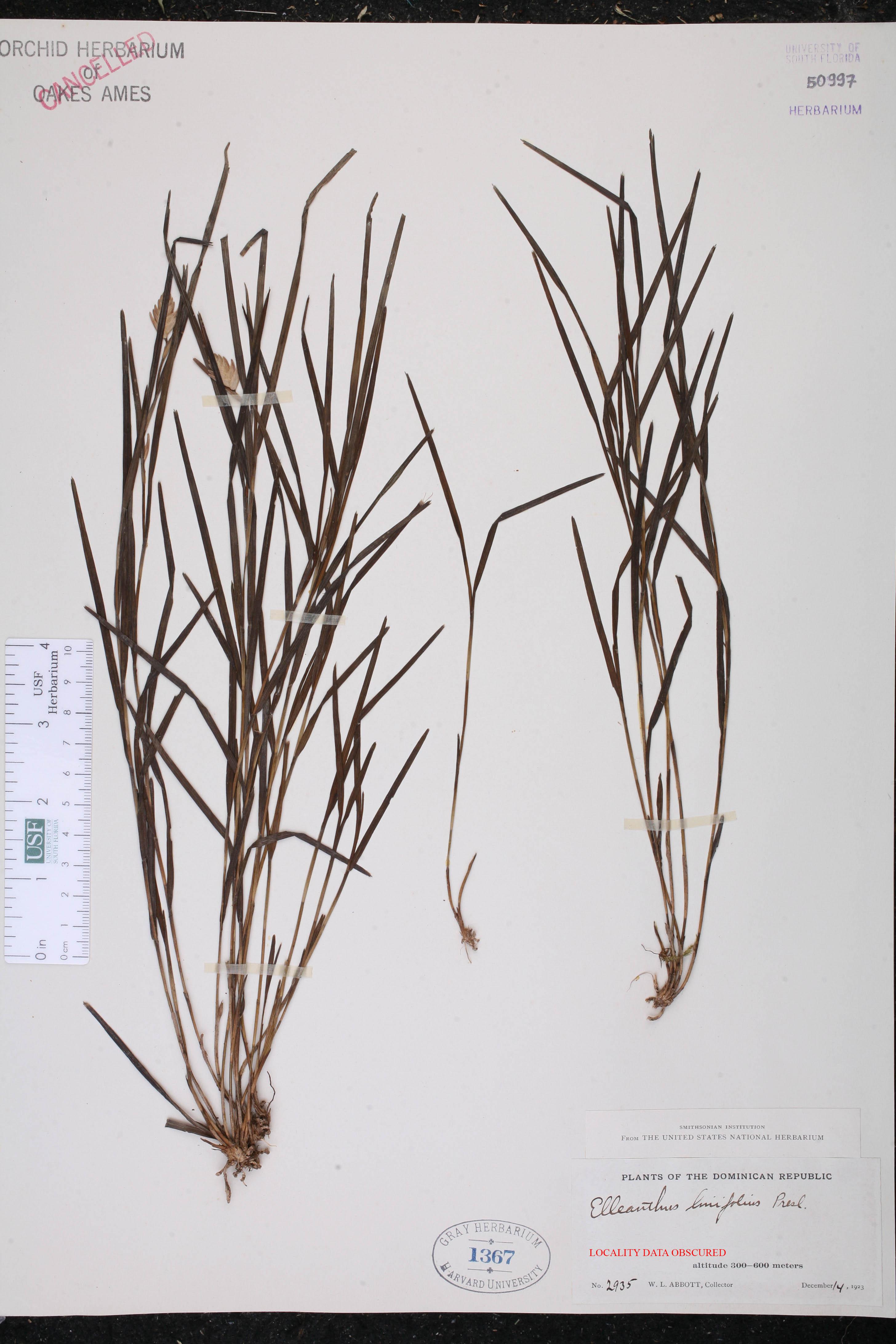 Elleanthus linifolius image