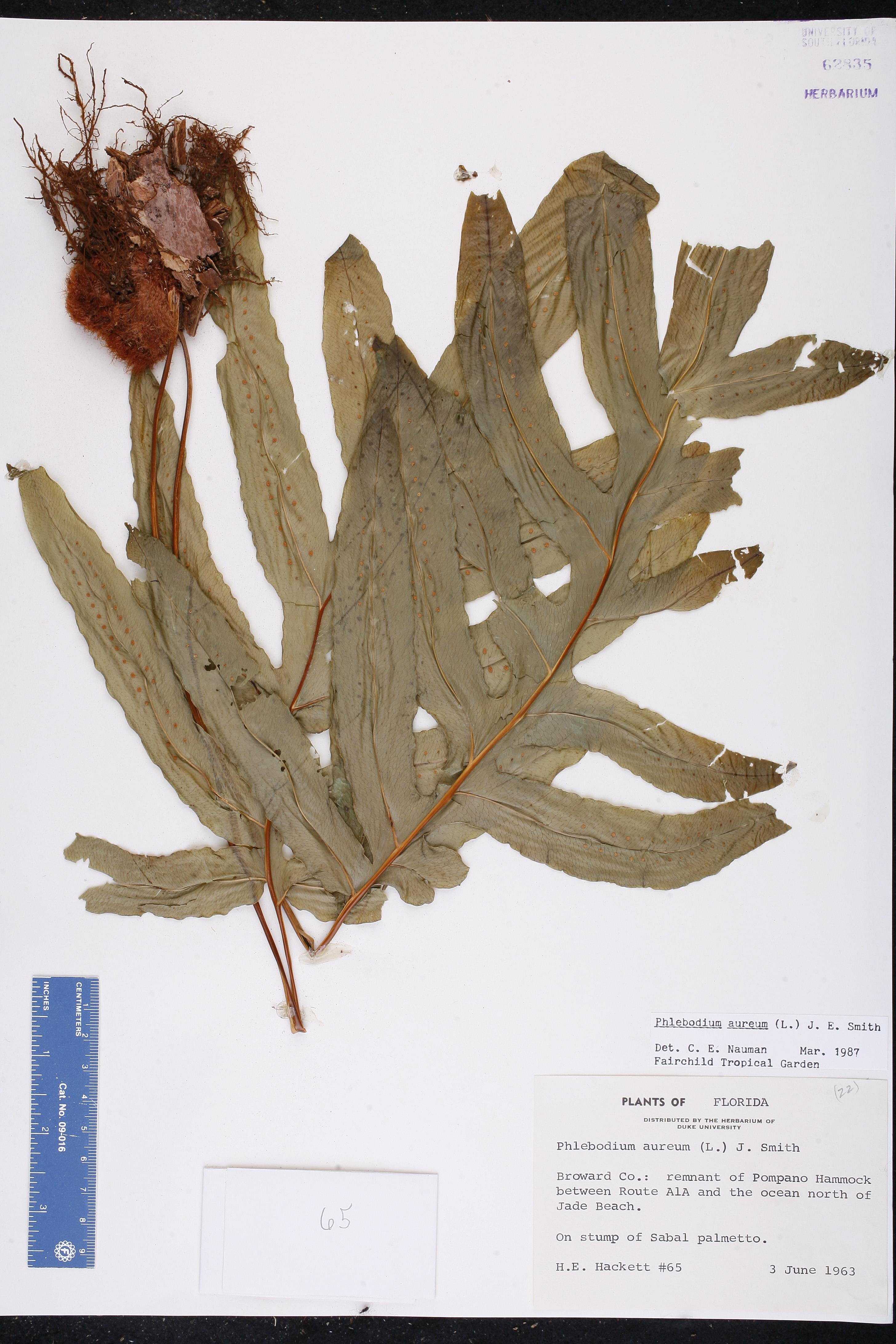 Phlebodium aureum - Species Page - ISB: Atlas of Florida Plants