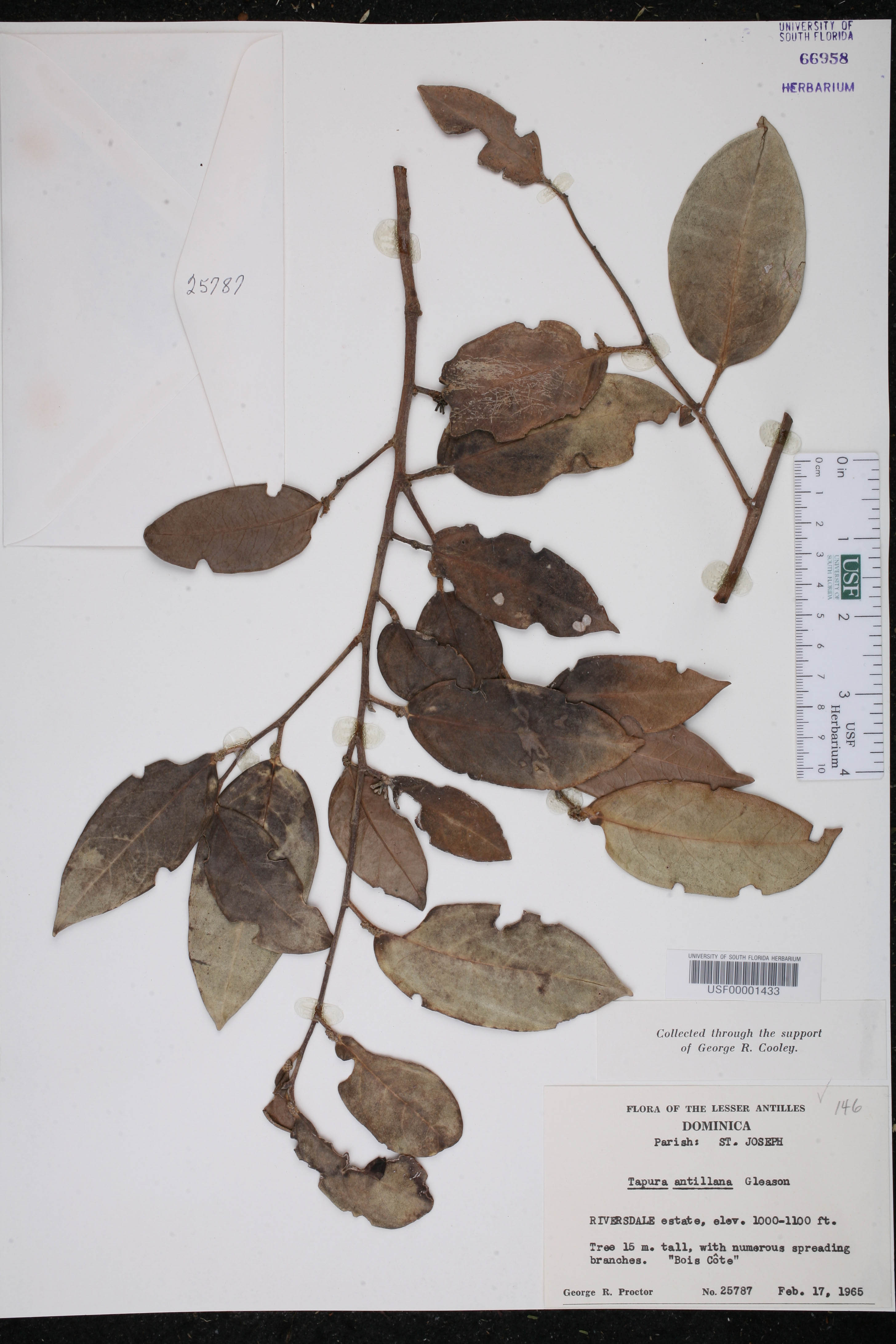 Tapura latifolia image