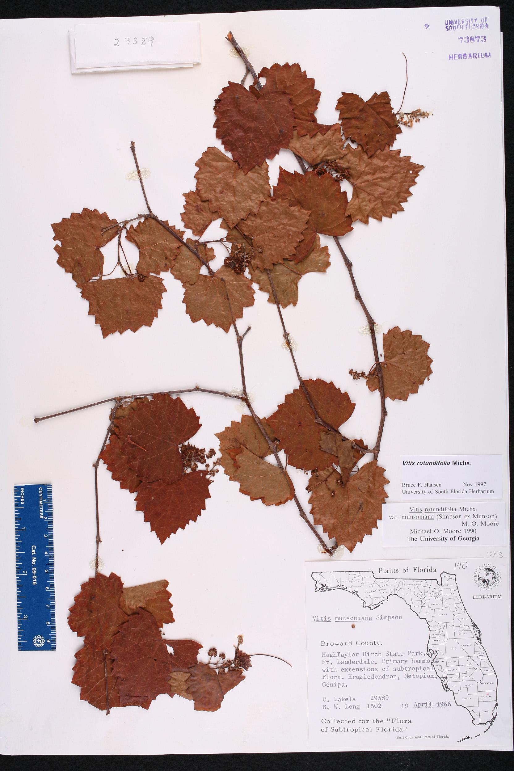 South Florida County Map.Vitis Rotundifolia Species Page Isb Atlas Of Florida Plants