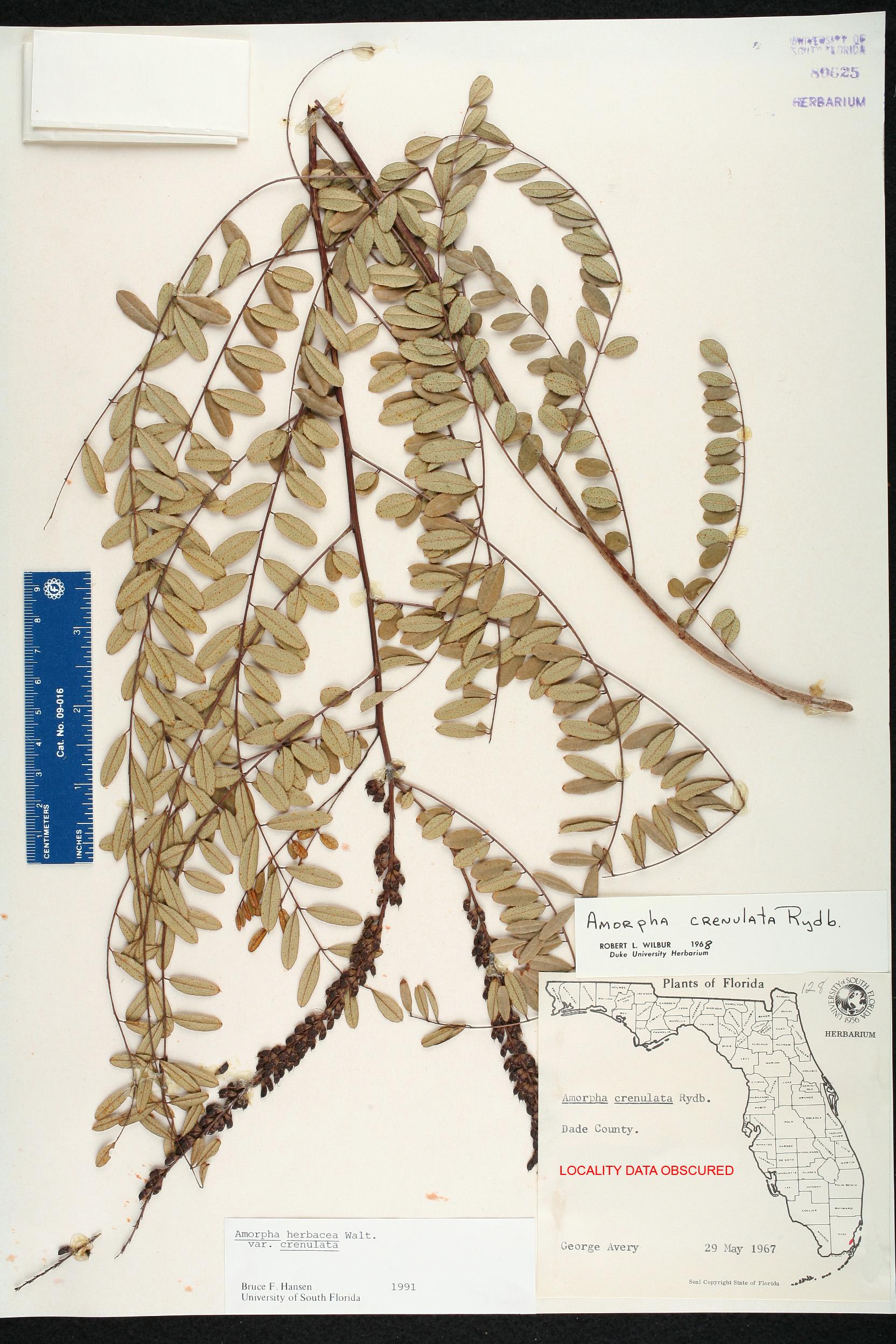 South Florida County Map.Amorpha Herbacea Var Crenulata Species Page Isb Atlas Of