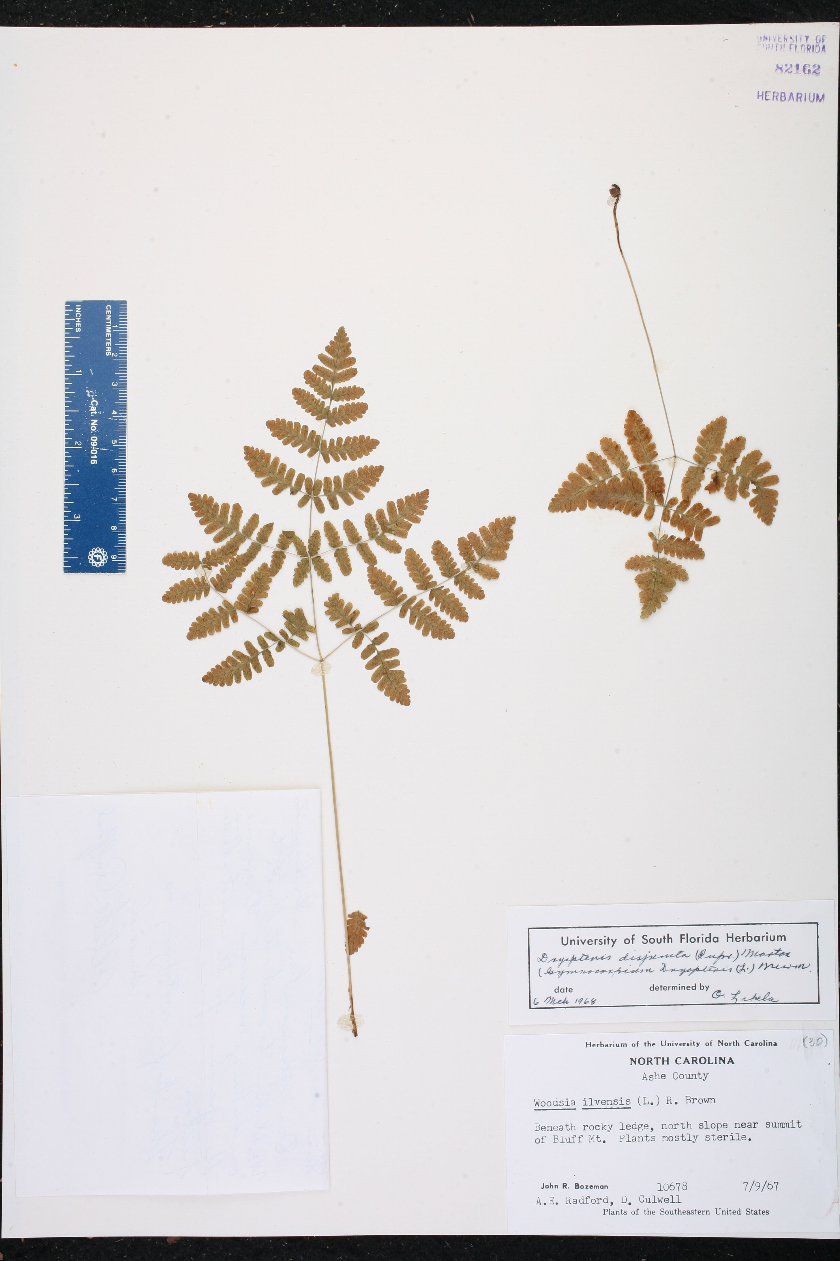 Dryopteris disjuncta image
