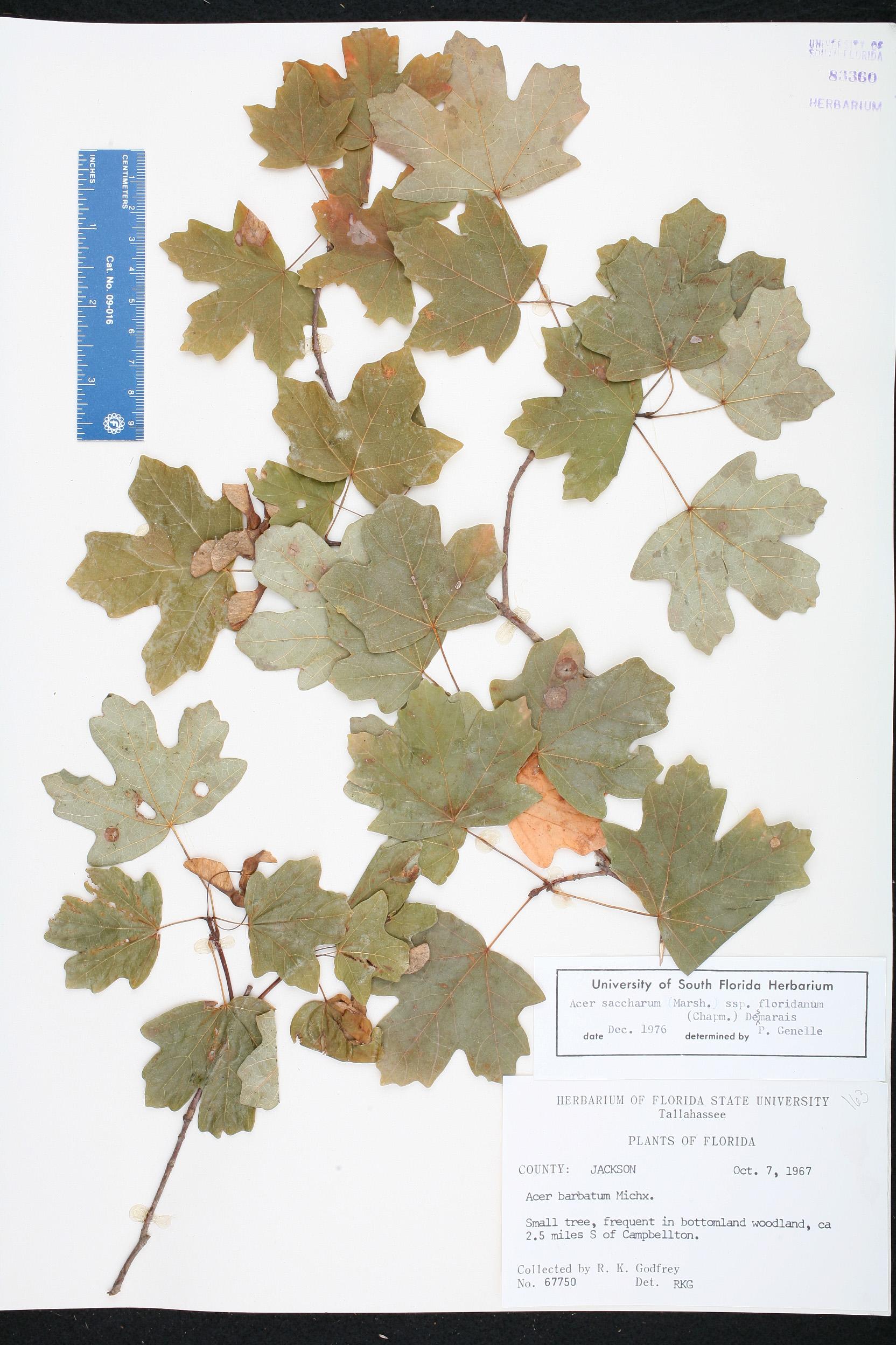 Acer Saccharum Subsp Floridanum Species Page Isb Atlas Of