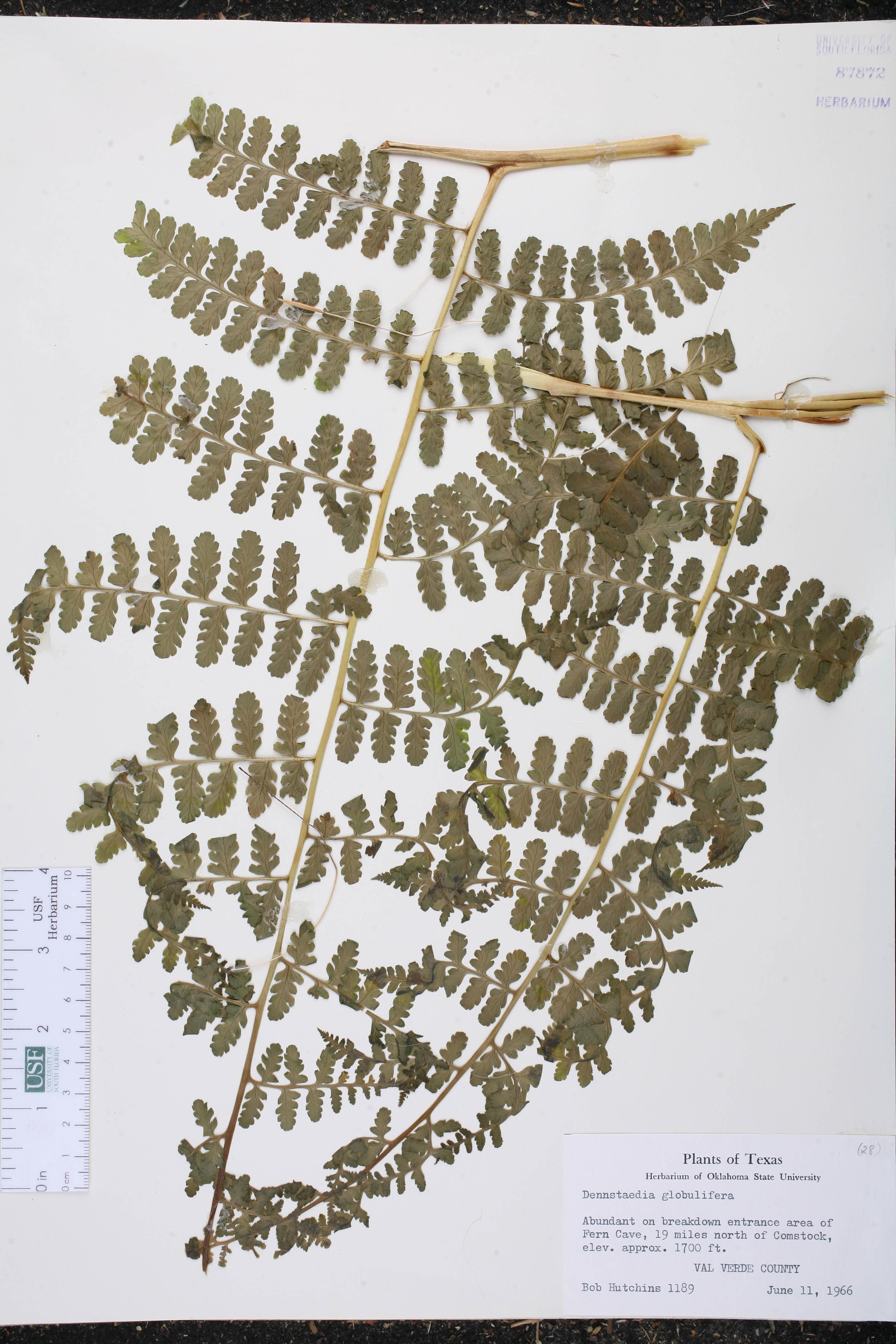 Dennstaedtia globulifera image