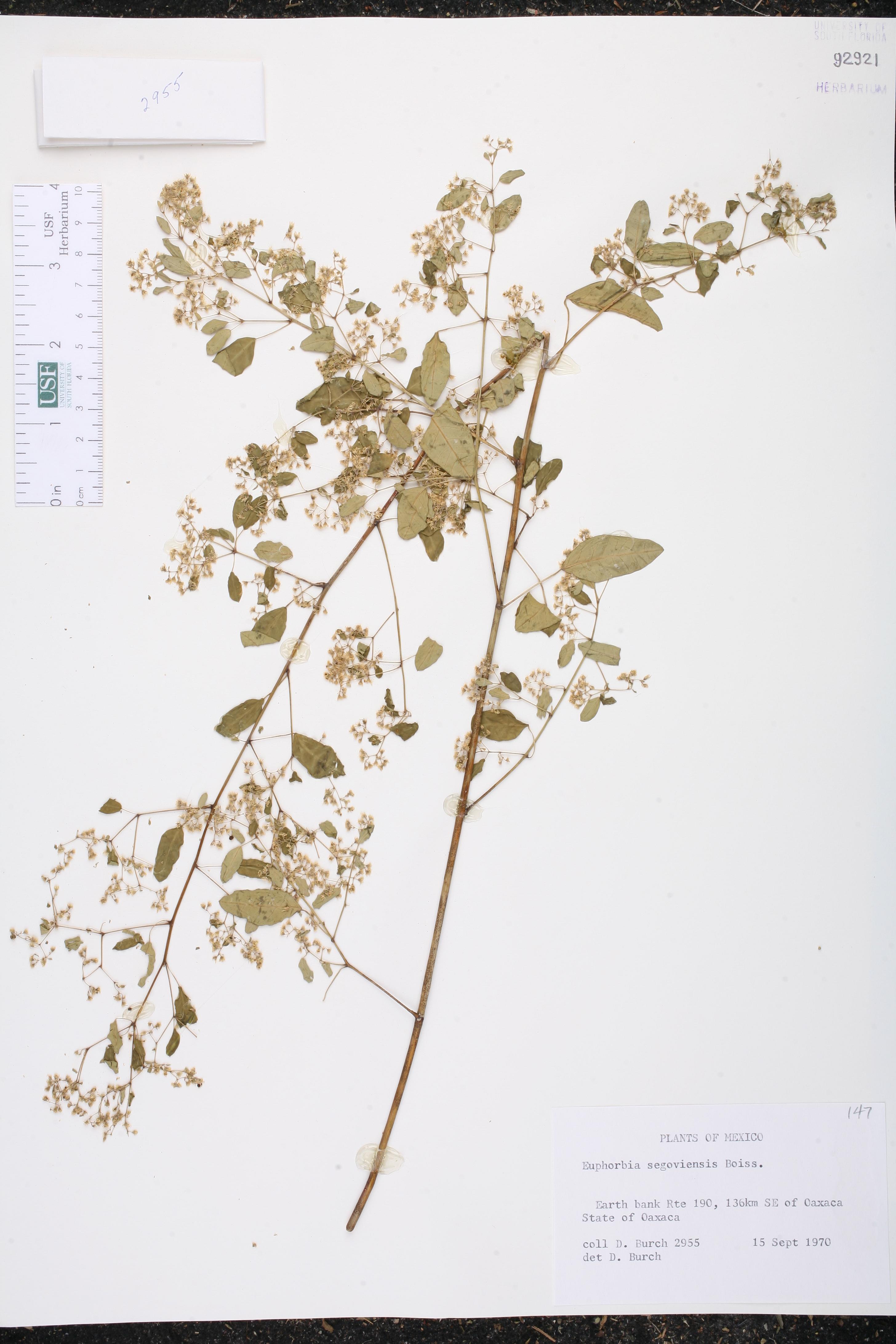 Euphorbia segoviensis image