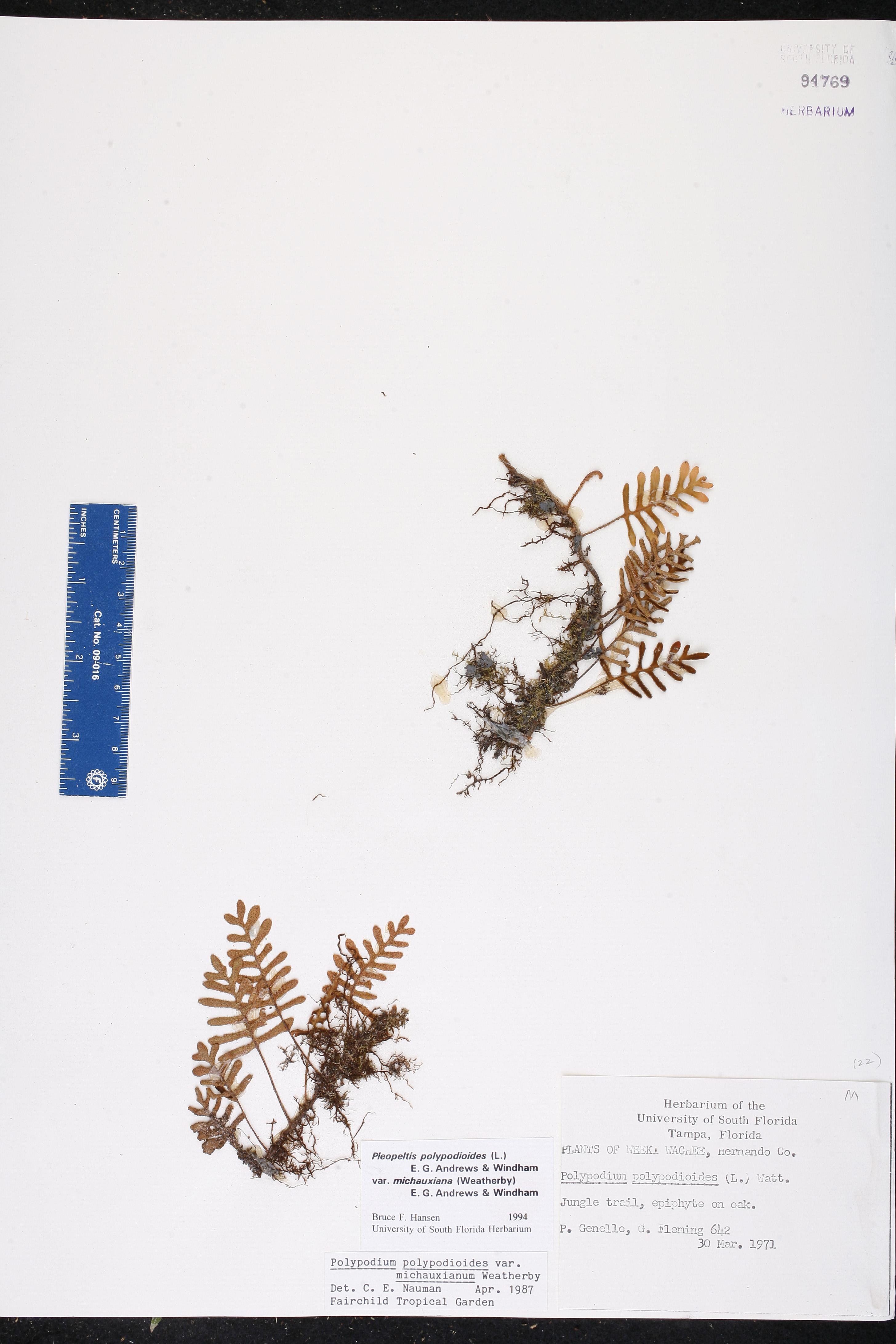 Pleopeltis michauxiana image