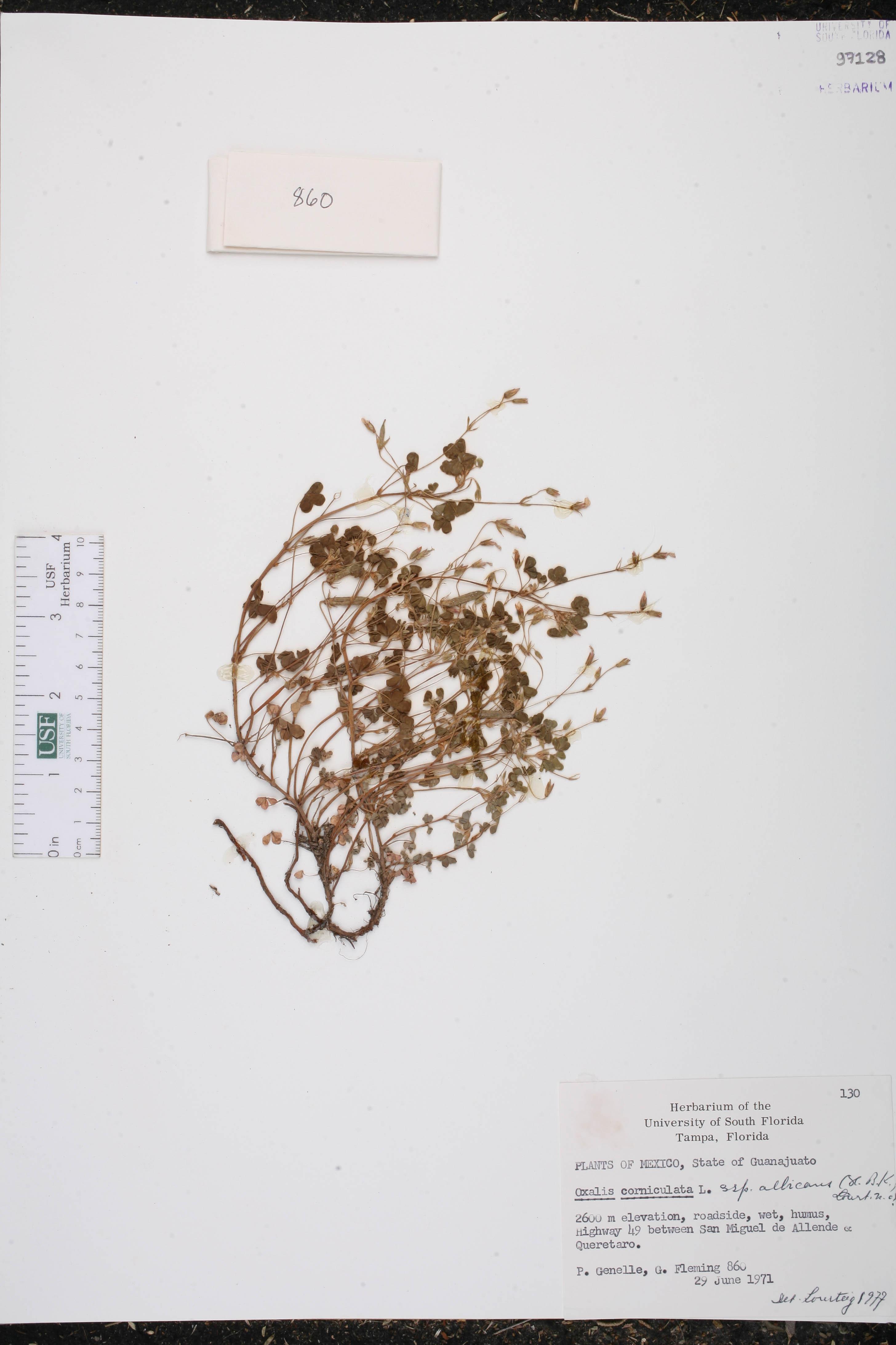 Oxalis albicans subsp. albicans image