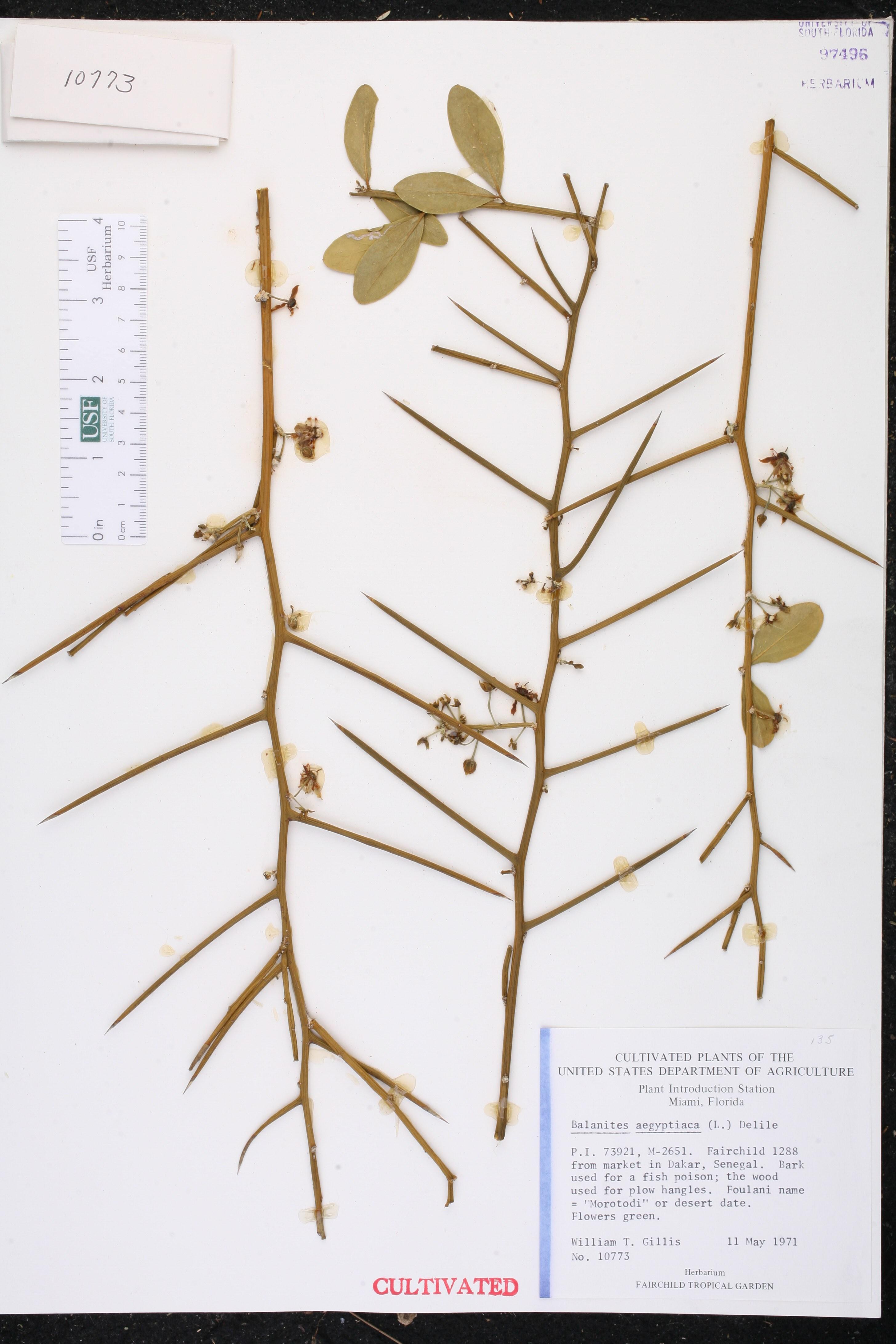 Balanites aegyptiaca image
