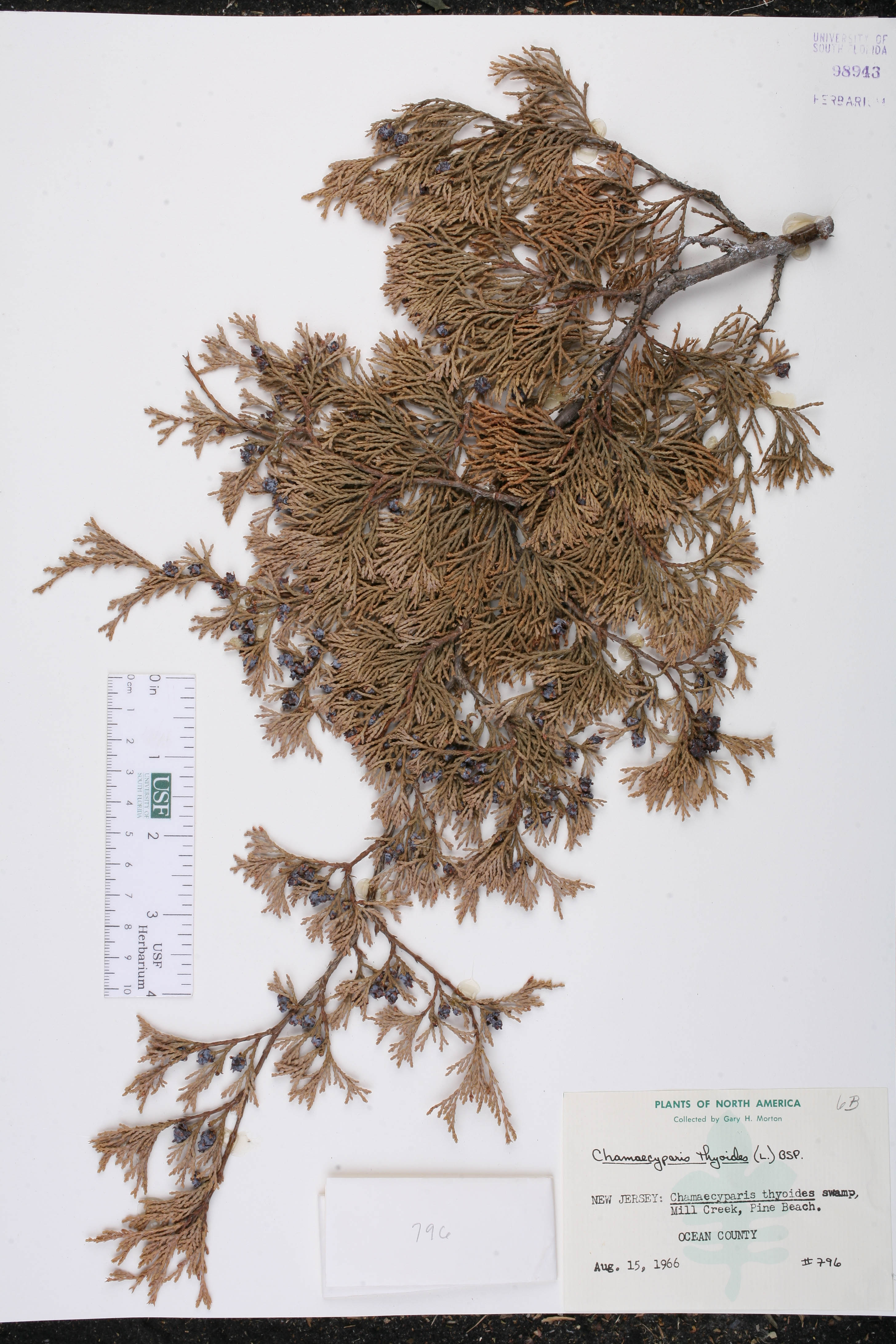 Chamaecyparis thyoides - Species Page - ISB: Atlas of