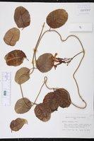 Echites umbellatus image