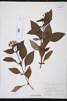 Pentas lanceolata image