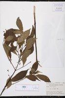 Hoffmannia woodsonii image