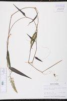 Image of Panicum frondescens
