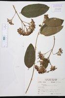 Aegiphila deppeana image
