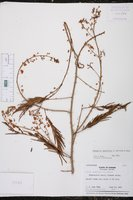 Image of Senegalia tenuifolia